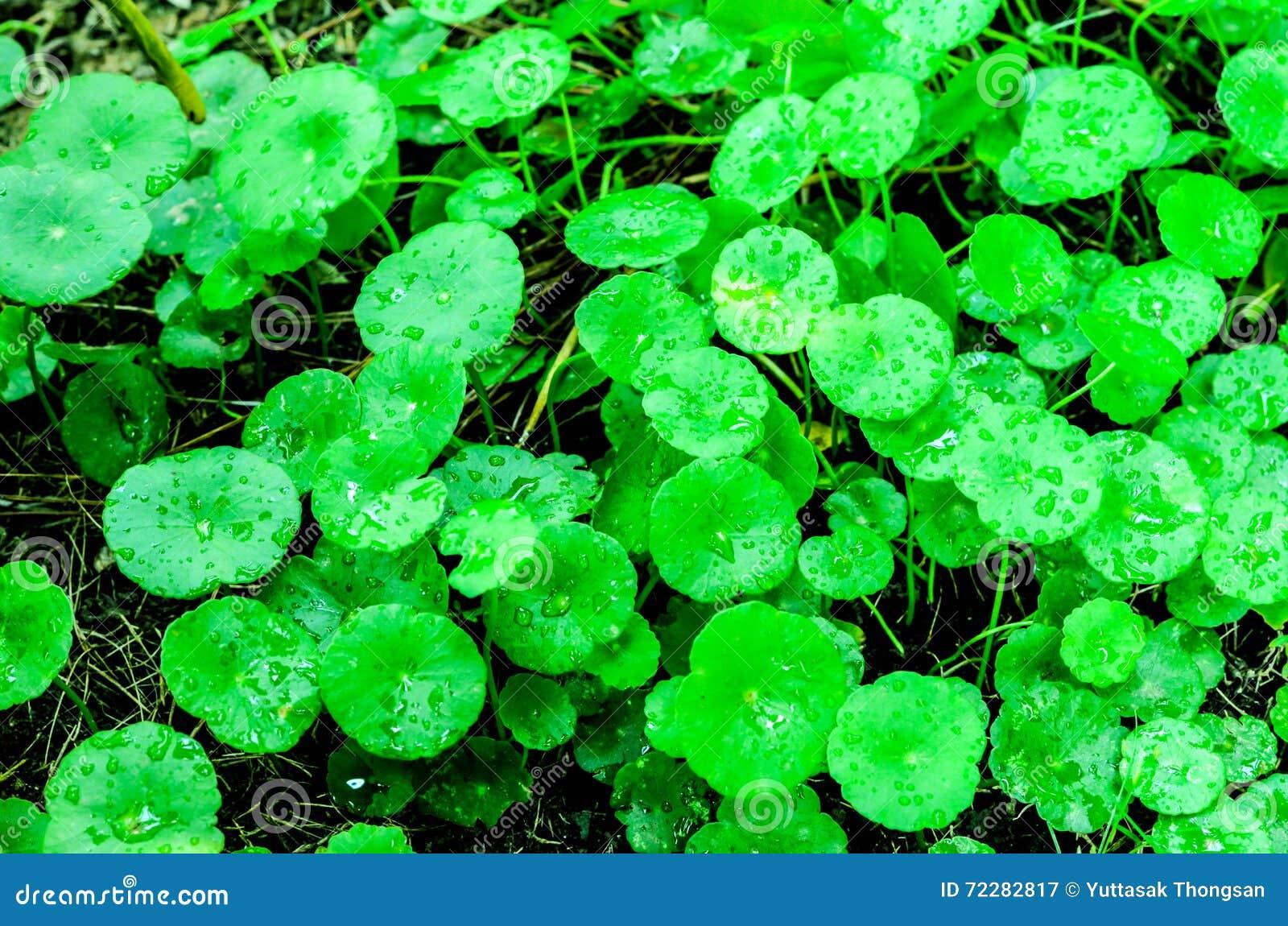 Download Азиатское Pennywort стоковое изображение. изображение насчитывающей овощ - 72282817