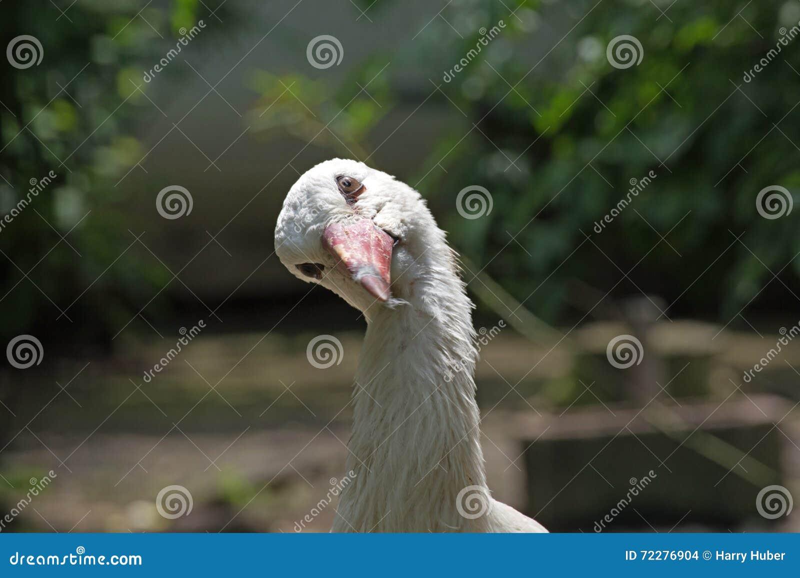 Download Аист стоковое фото. изображение насчитывающей plumage - 72276904