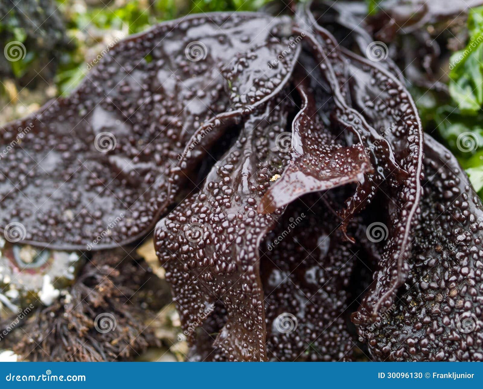 Аквариумные растениа и келп