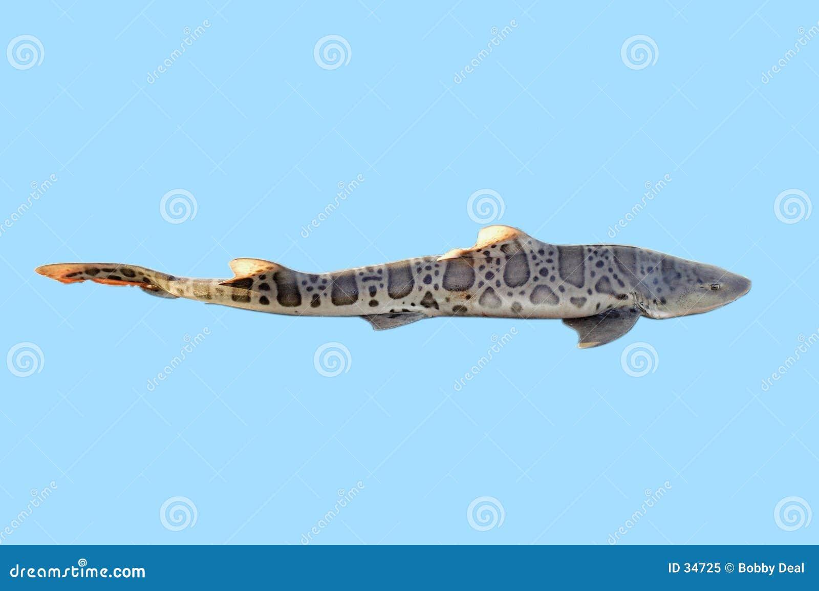 акула lepoard