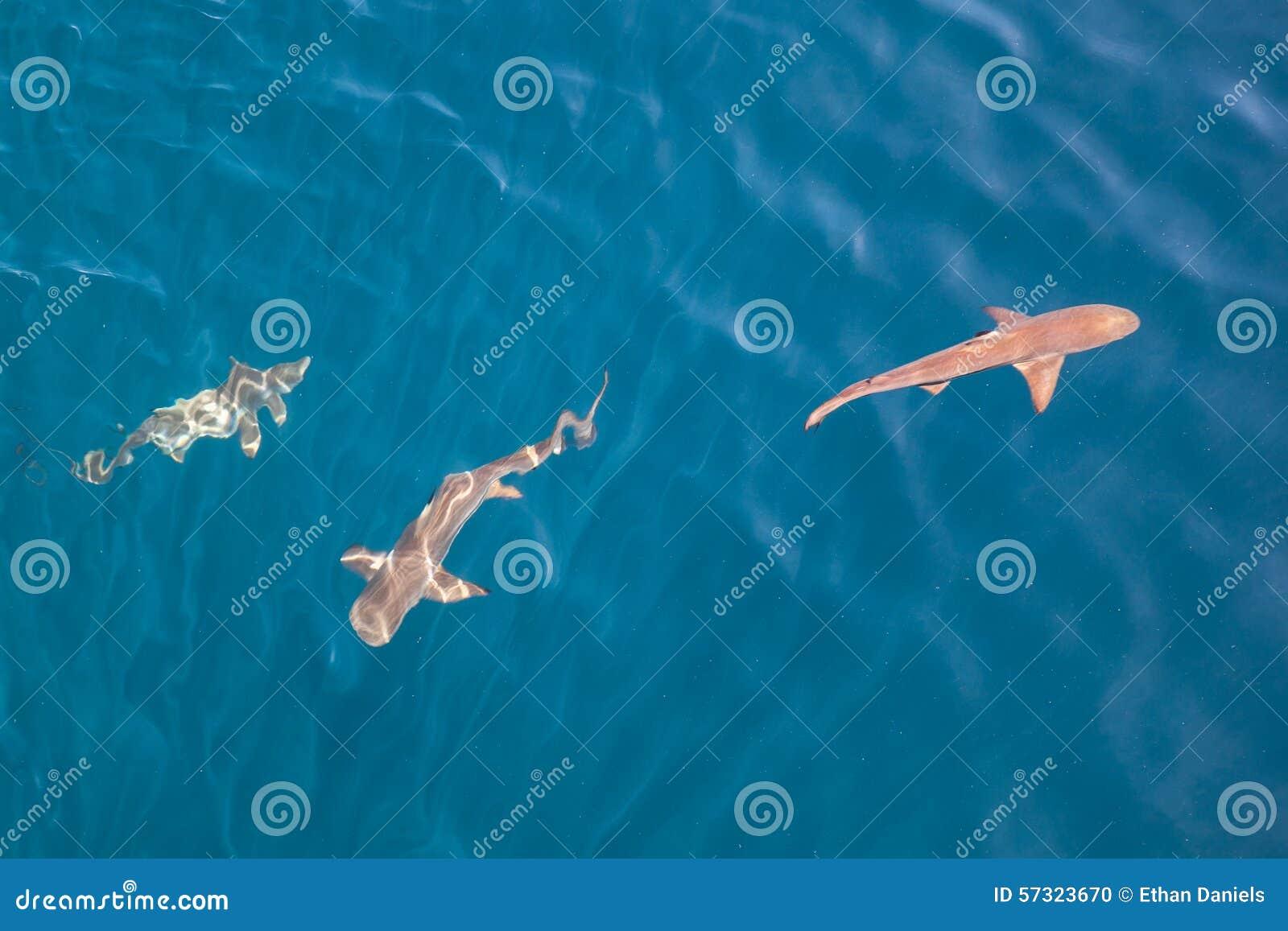 Акулы в мелководье