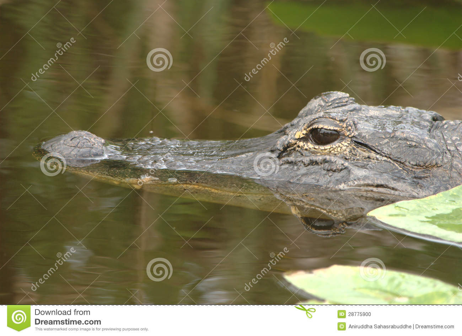 Аллигатор в одичалом