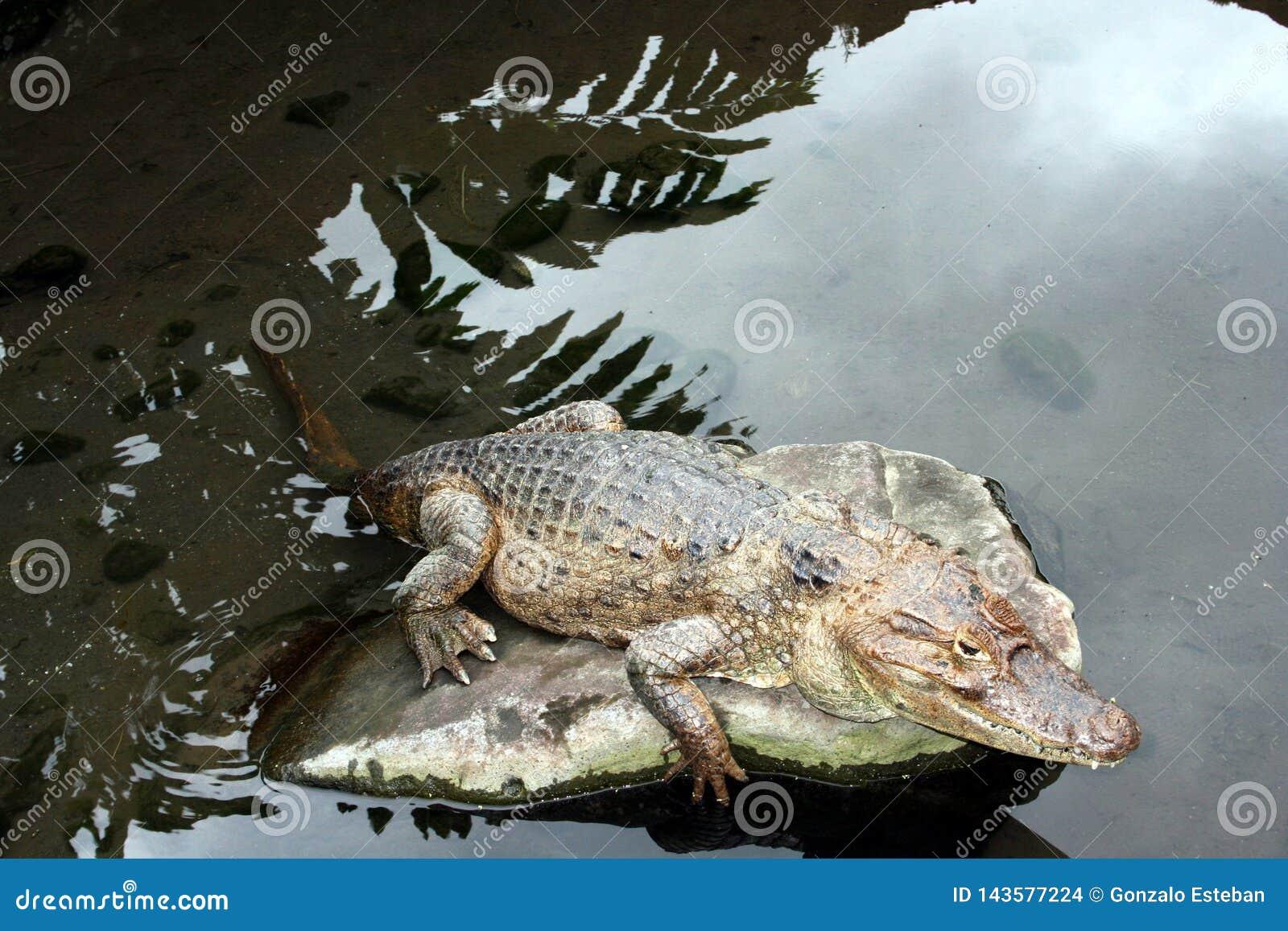Аллигатор отдыхая в утесе