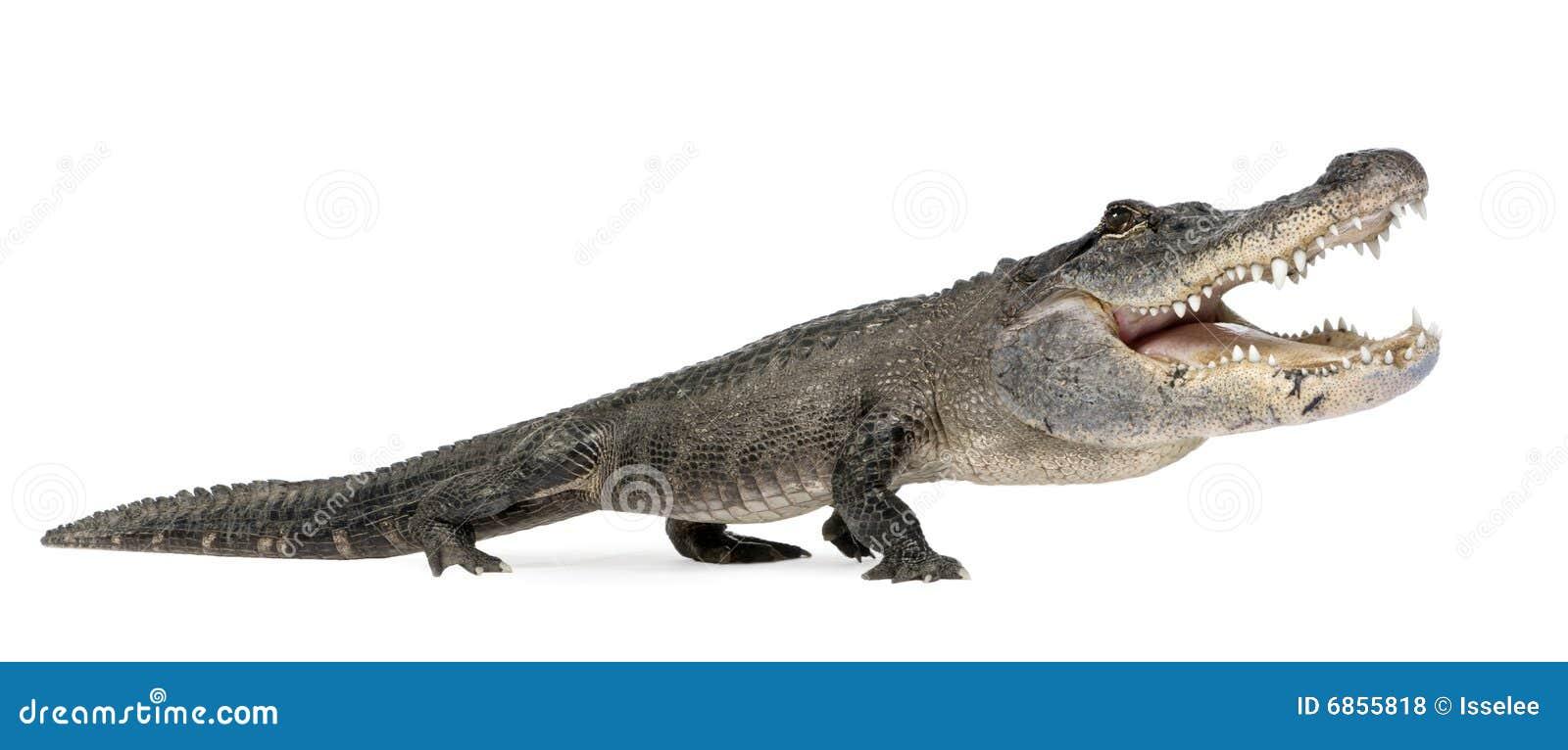 аллигатор смешной