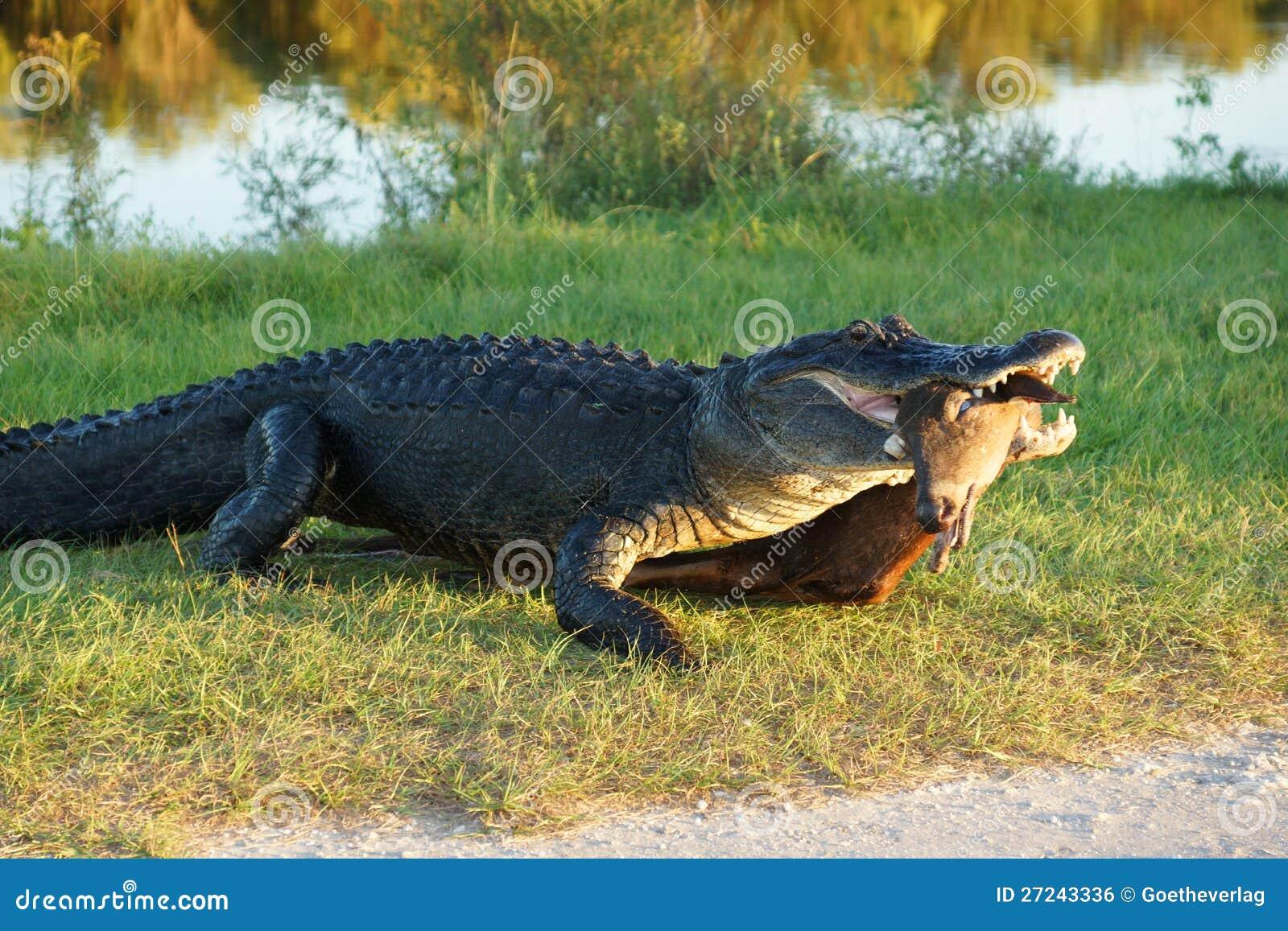 Аллигатор с животным prey