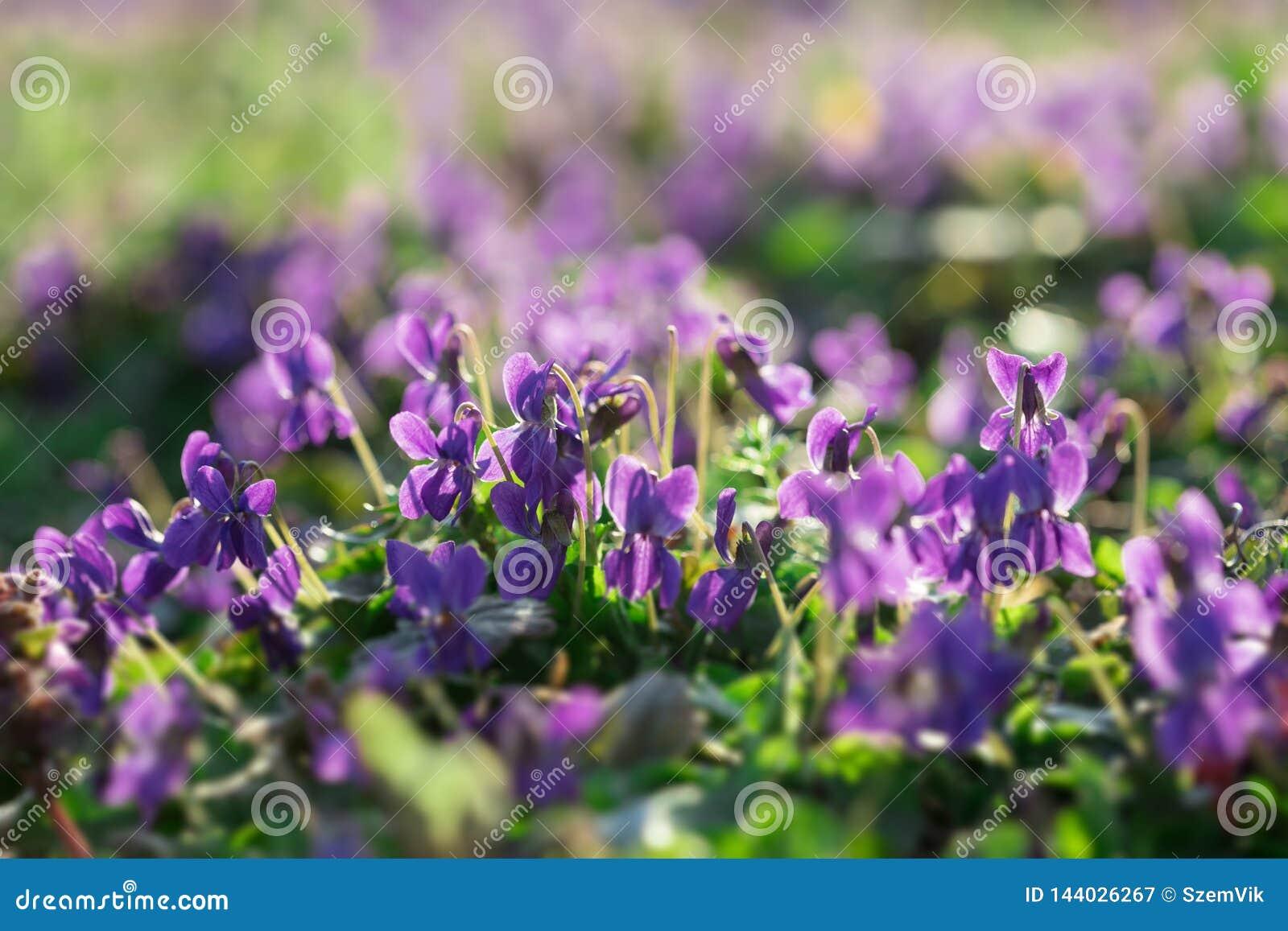 Альты в солнечном предыдущем саде весны