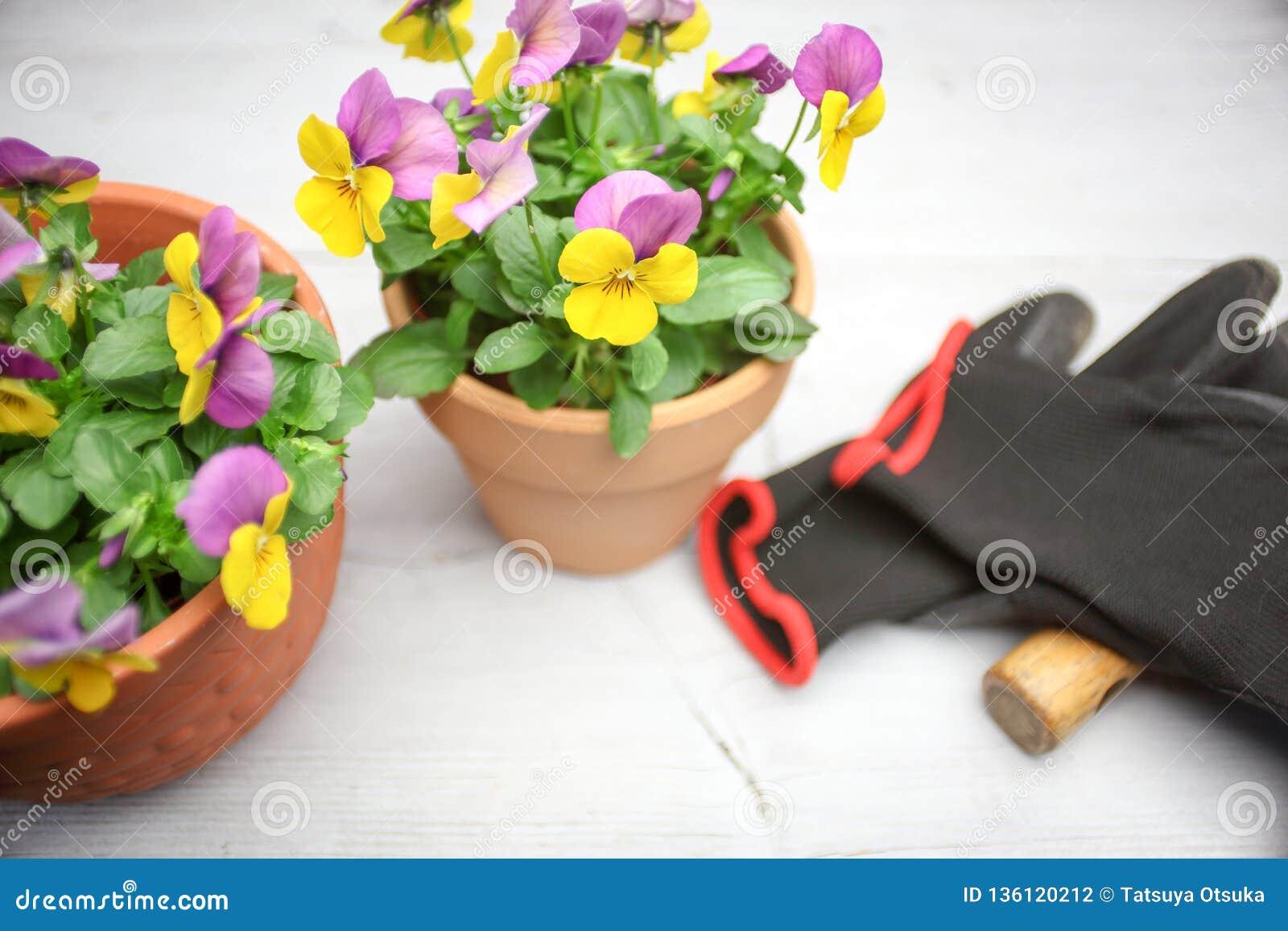 Альты в цветочном горшке
