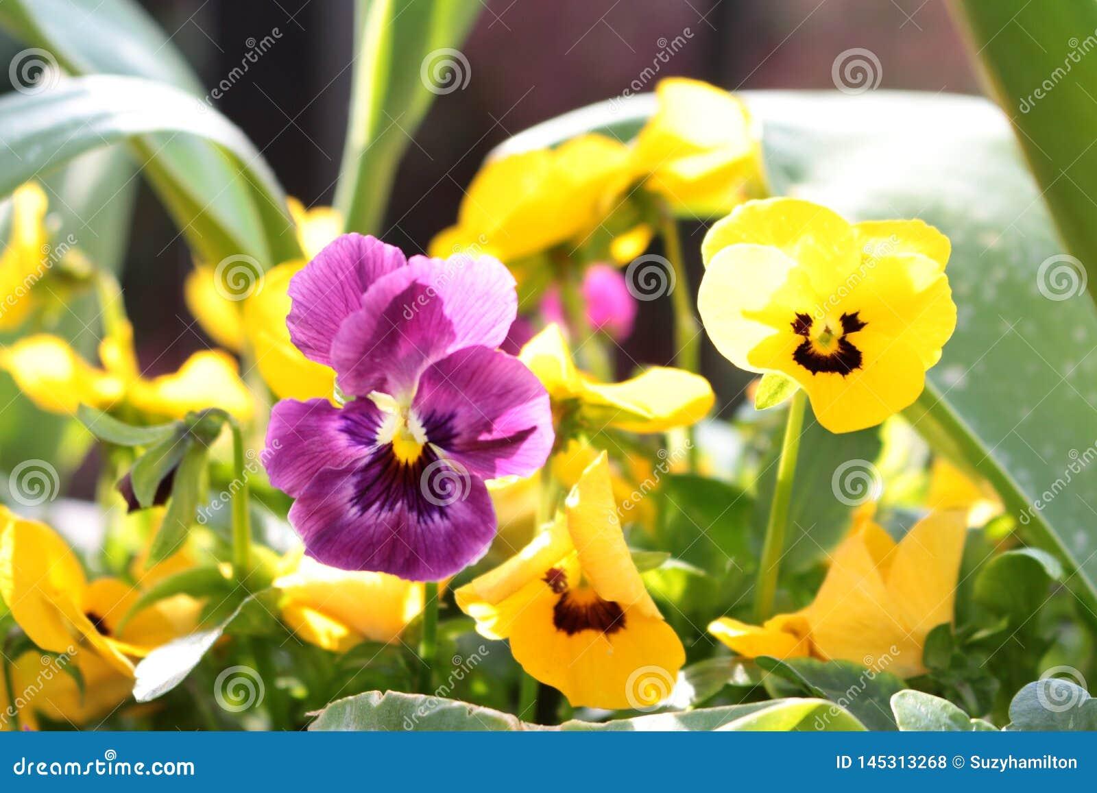 Альты пурпурные и желтый конец вверх в границе сада