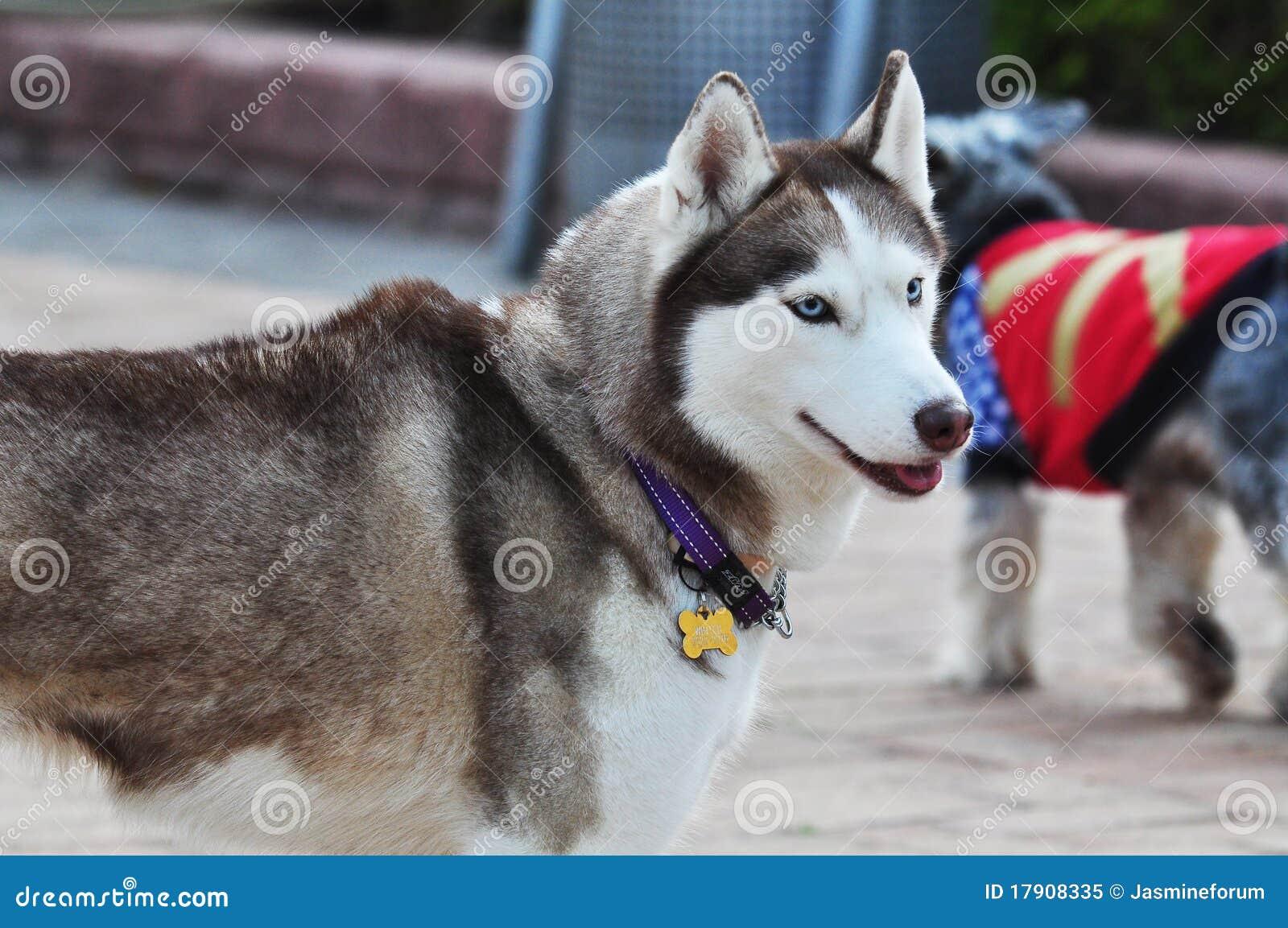 аляскский malamute