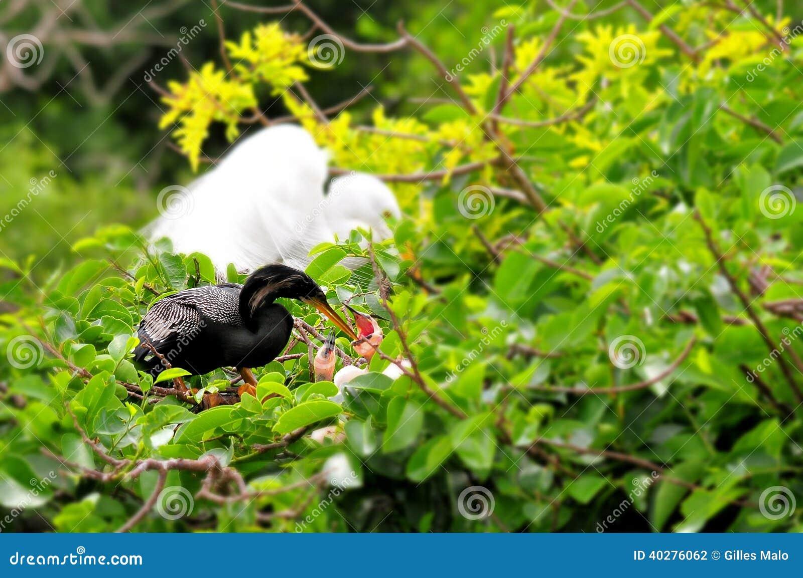 Американская змеешейка на ветви & цыпленоки в гнезде в заболоченном месте