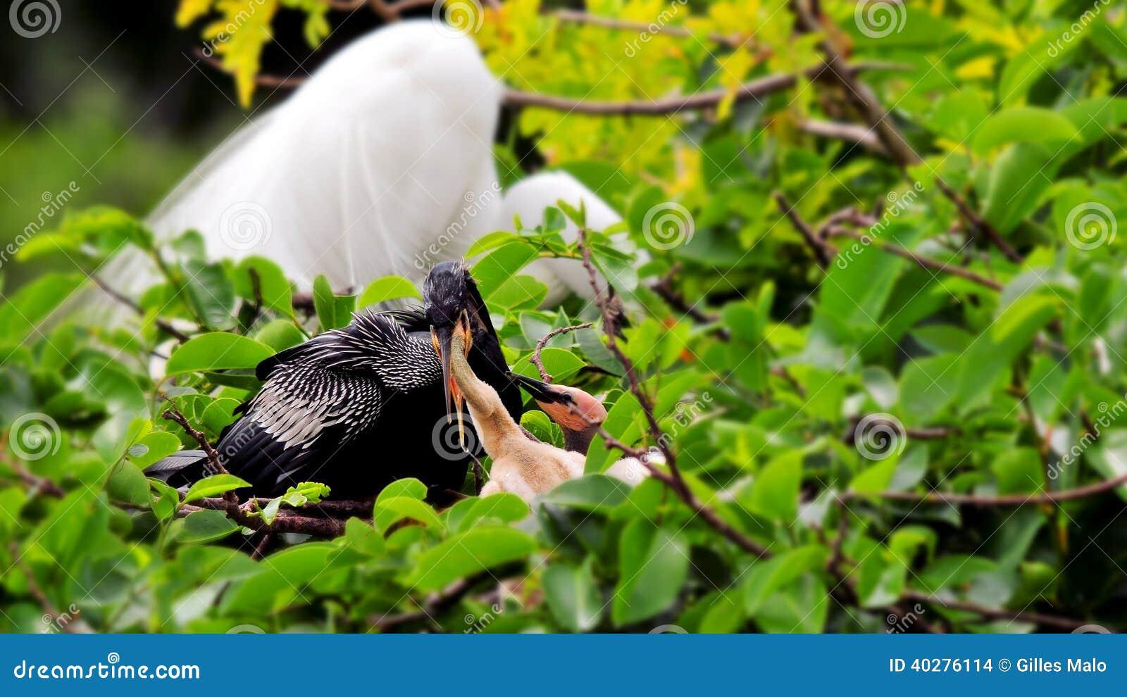Американская змеешейка на цыпленоках ветви подавая в гнезде