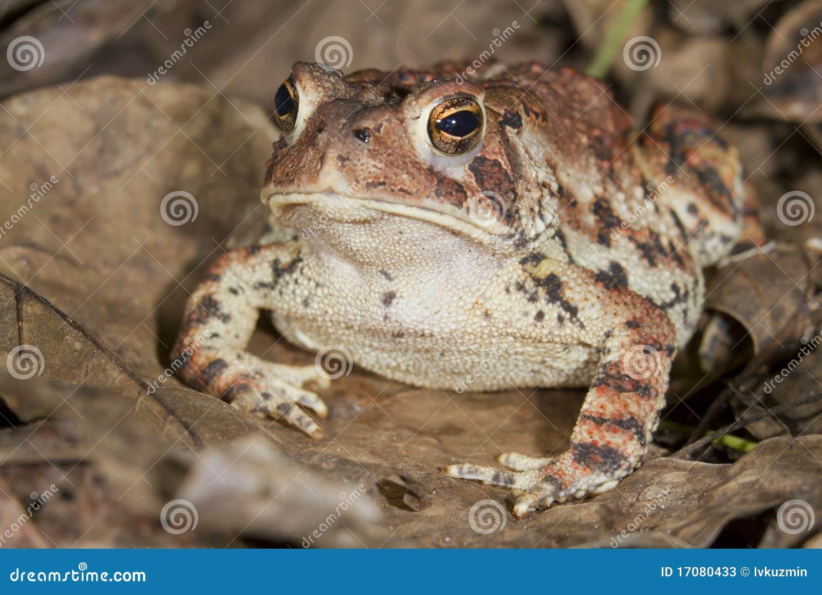 американская americanus жаба bufo
