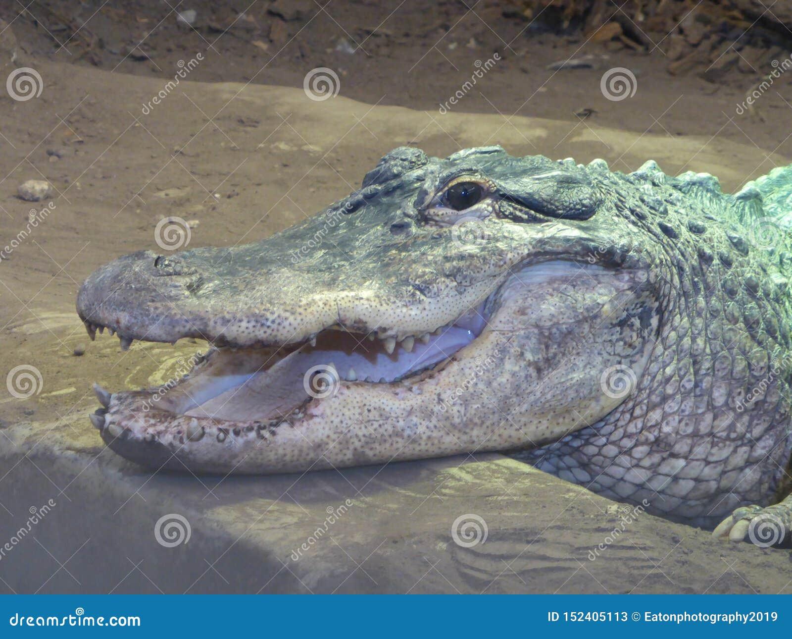 Американский аллигатор смотря вне на мире