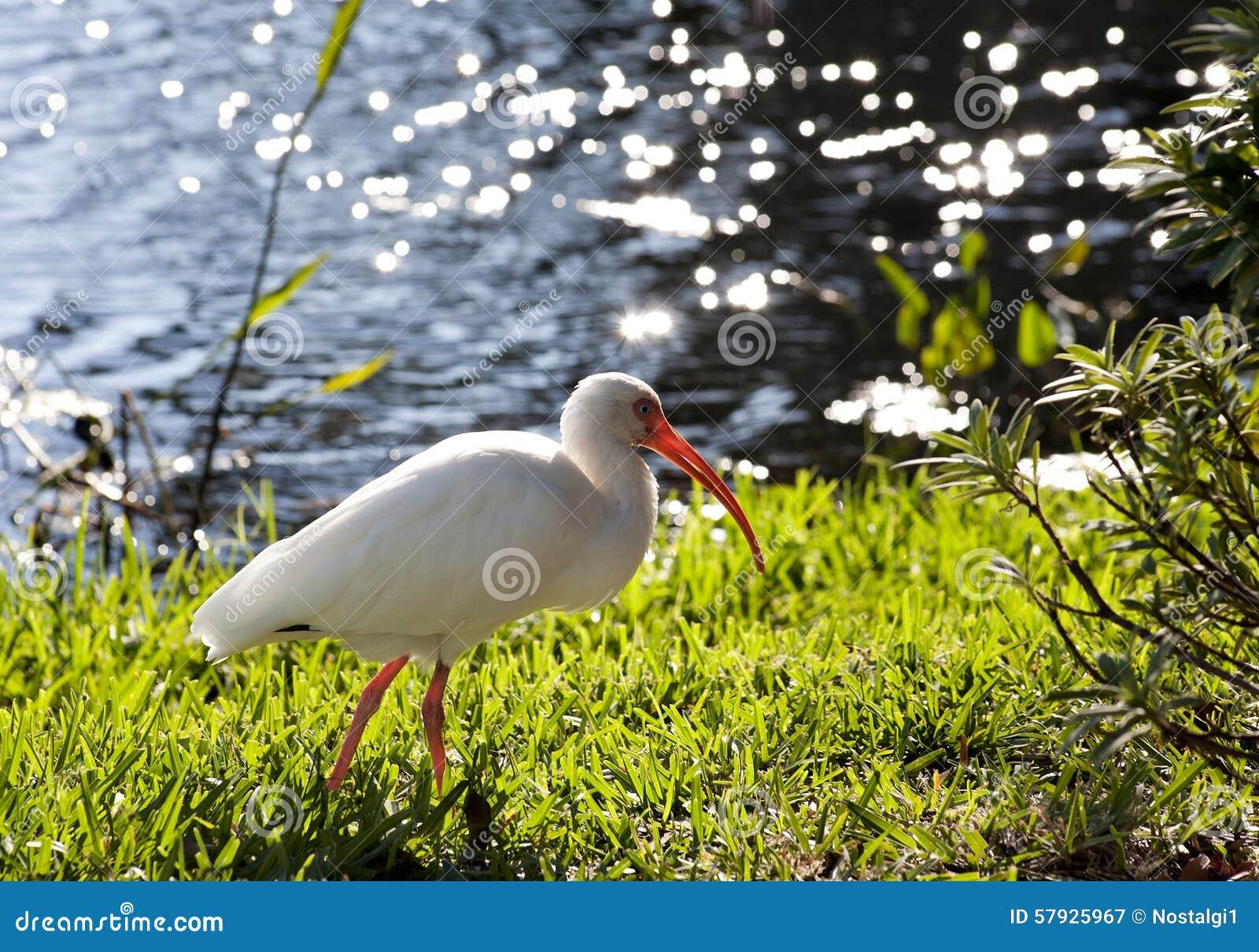 Американский белый Ibis (albus Eudocimus) в поисках еды
