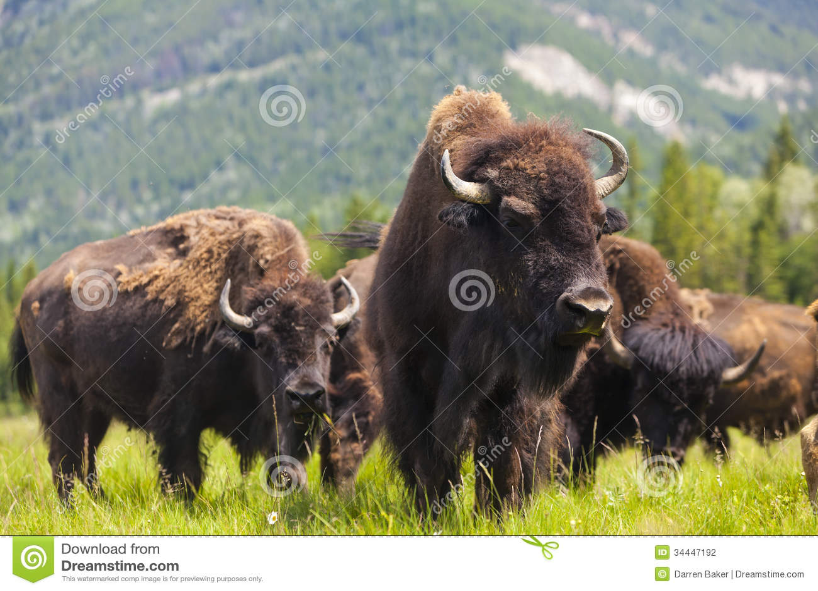 Американский бизон или буйвол