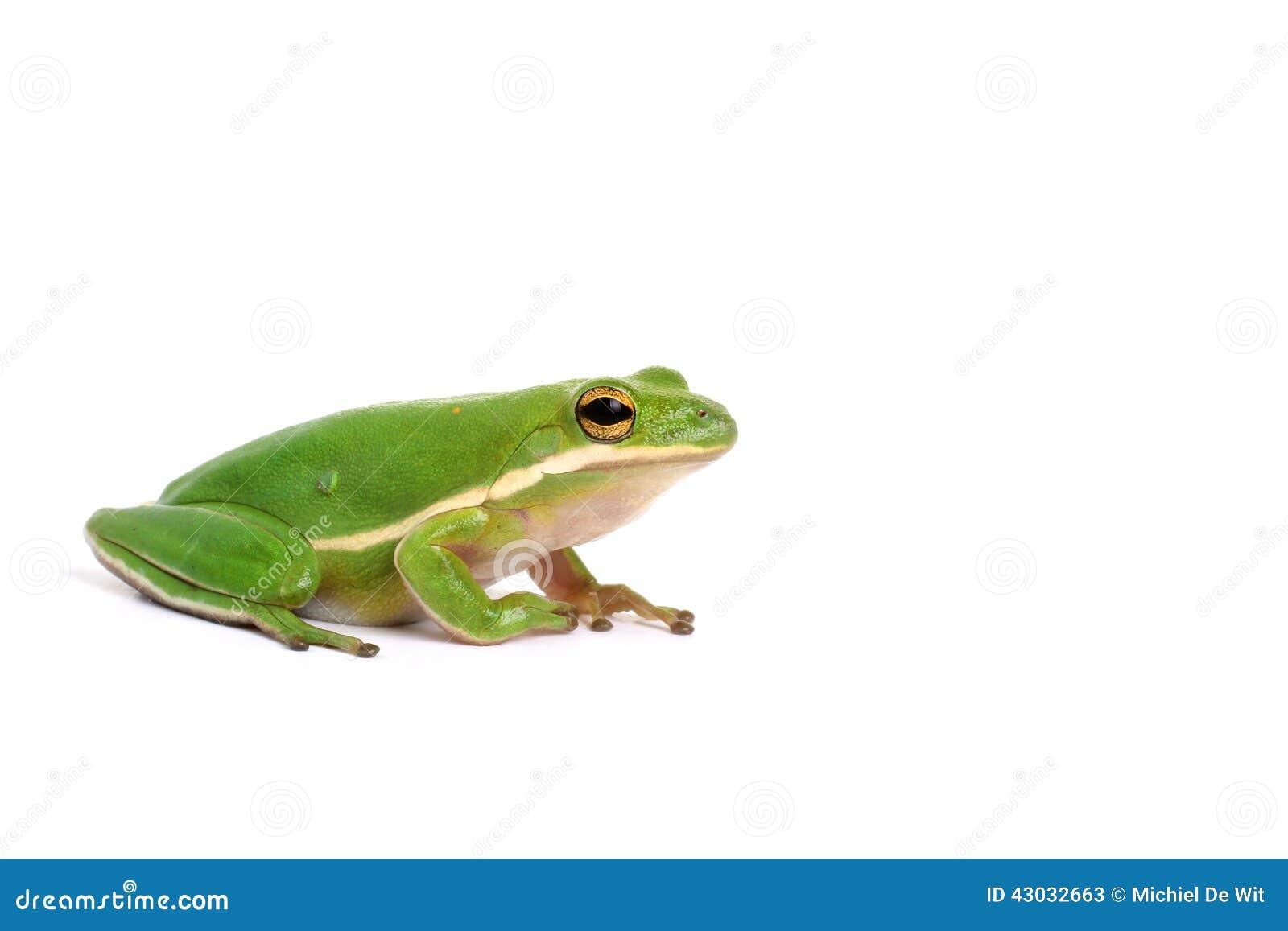американский вал зеленого цвета лягушки