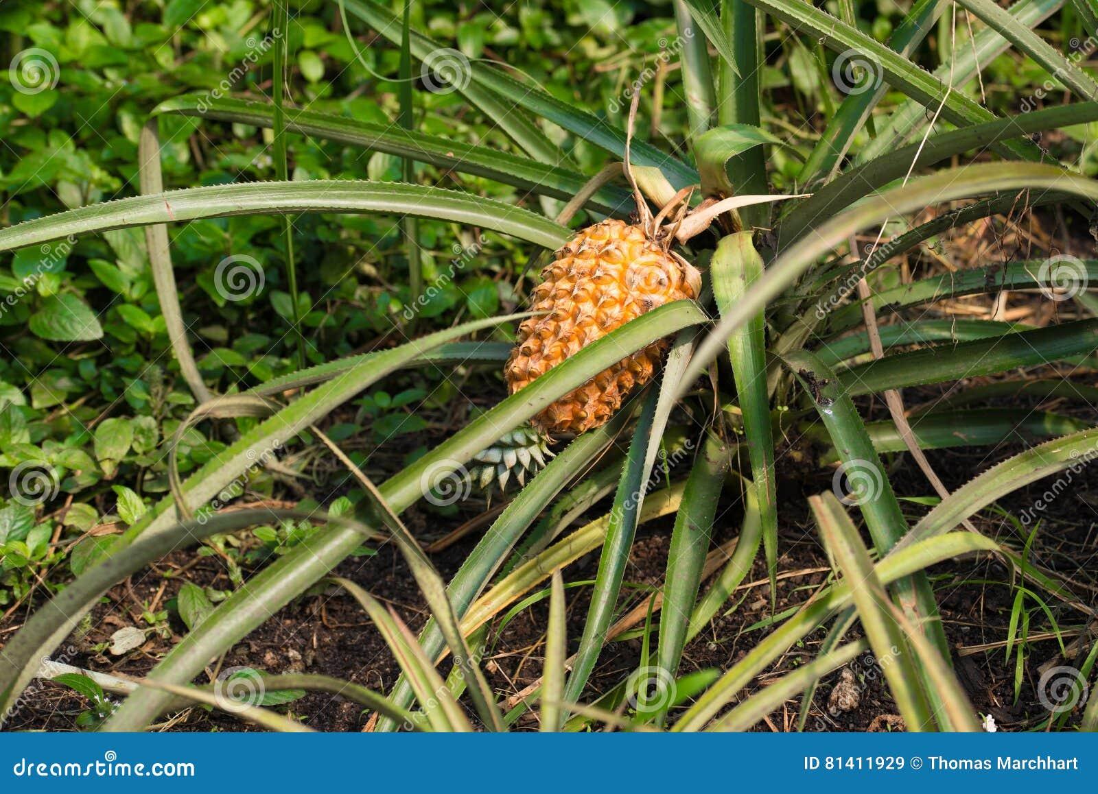 ананас зрелый