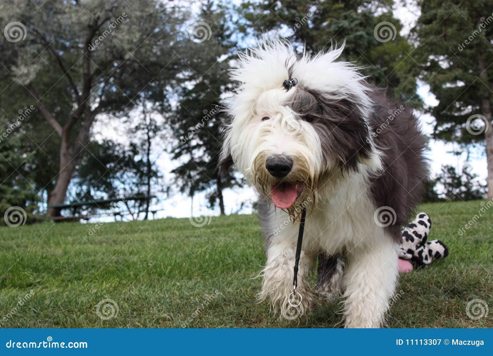 английский старый идущий sheepdog
