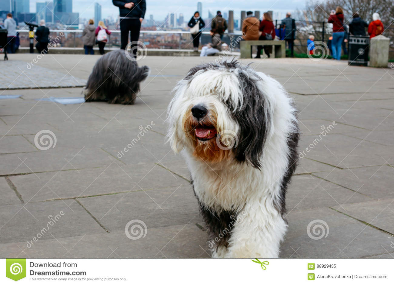 английский старый sheepdog