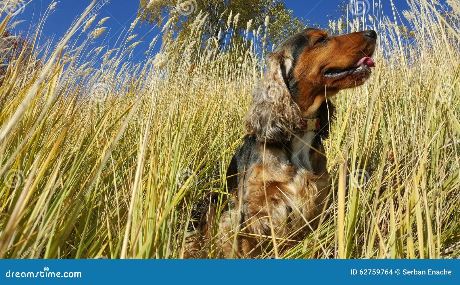 Английский spaniel кокерспаниеля сидя в травах