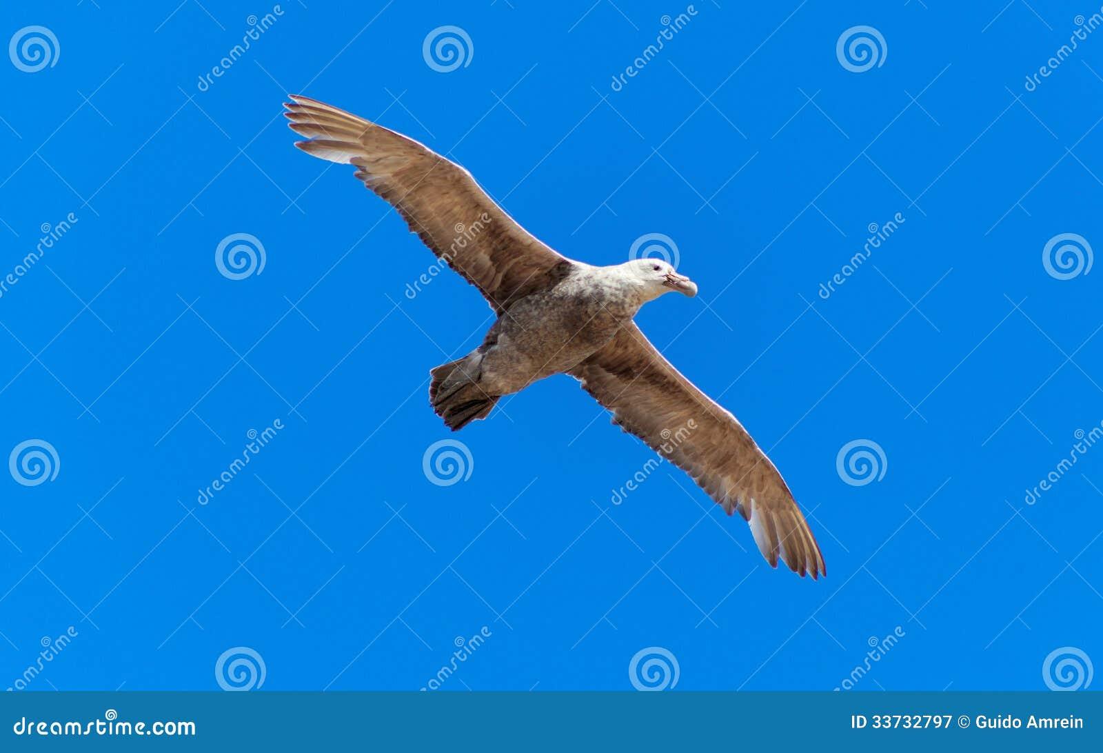 Антартический буревестник летая птицы