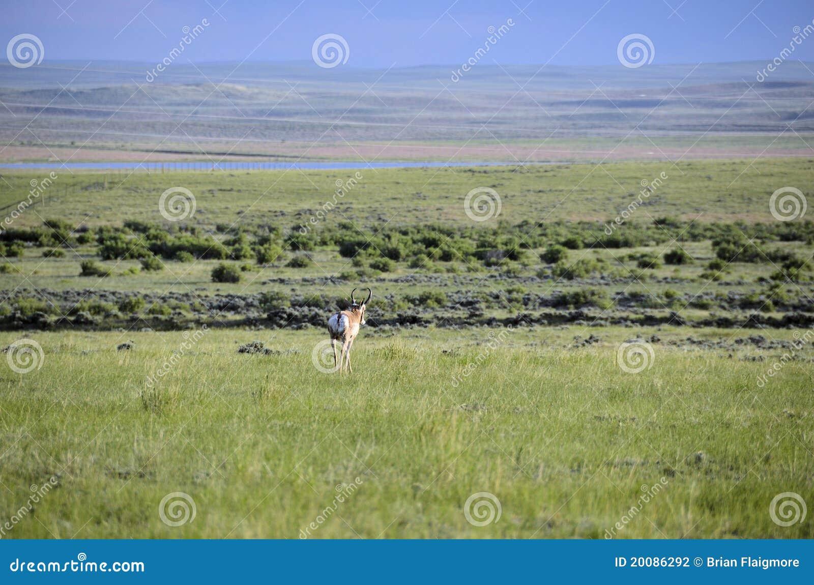 антилопа Вайоминг