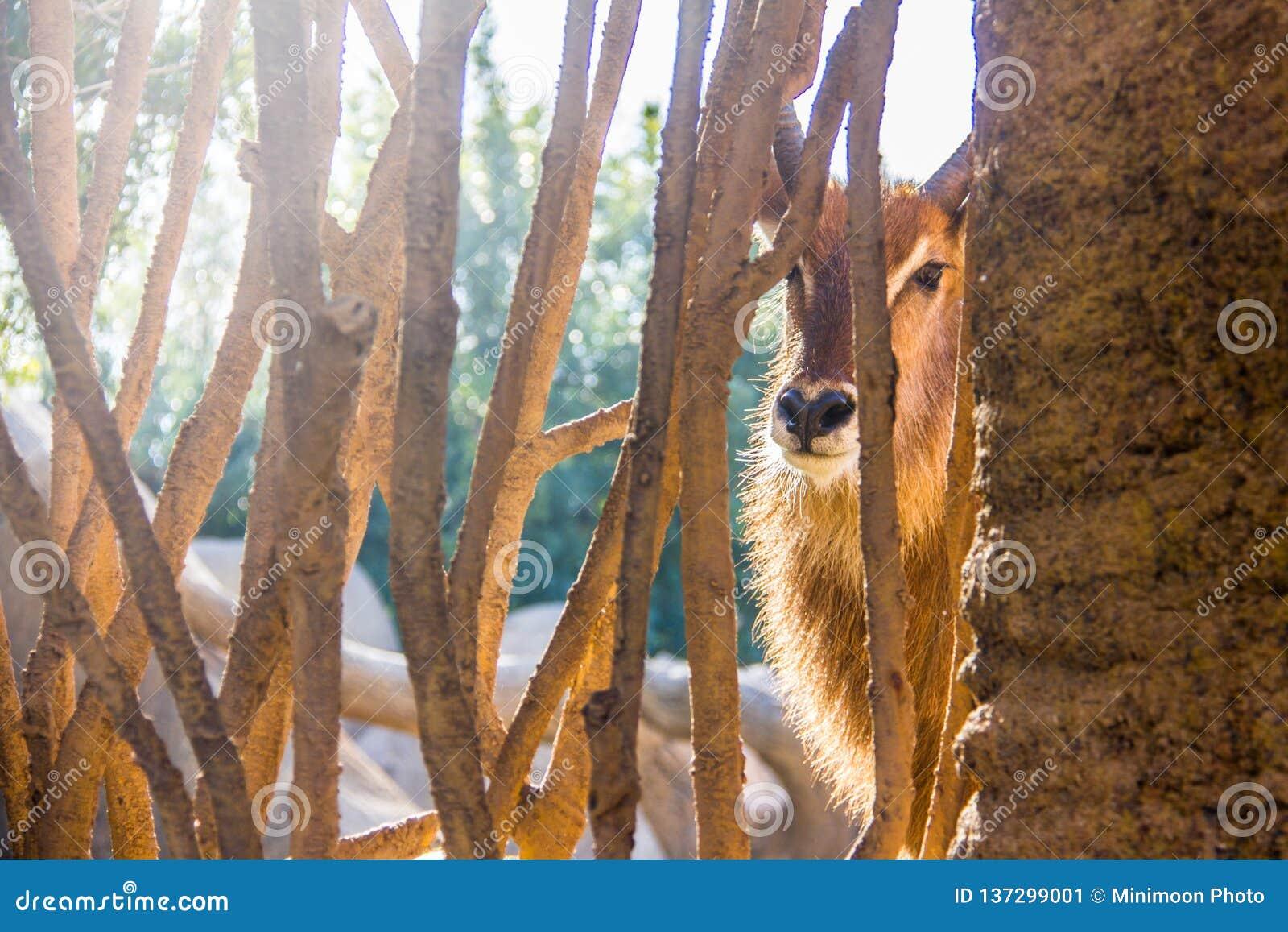 Антилопа Waterbuck, ellipsiprymnus Kobus, за древесиной обнесет забором зоопарк