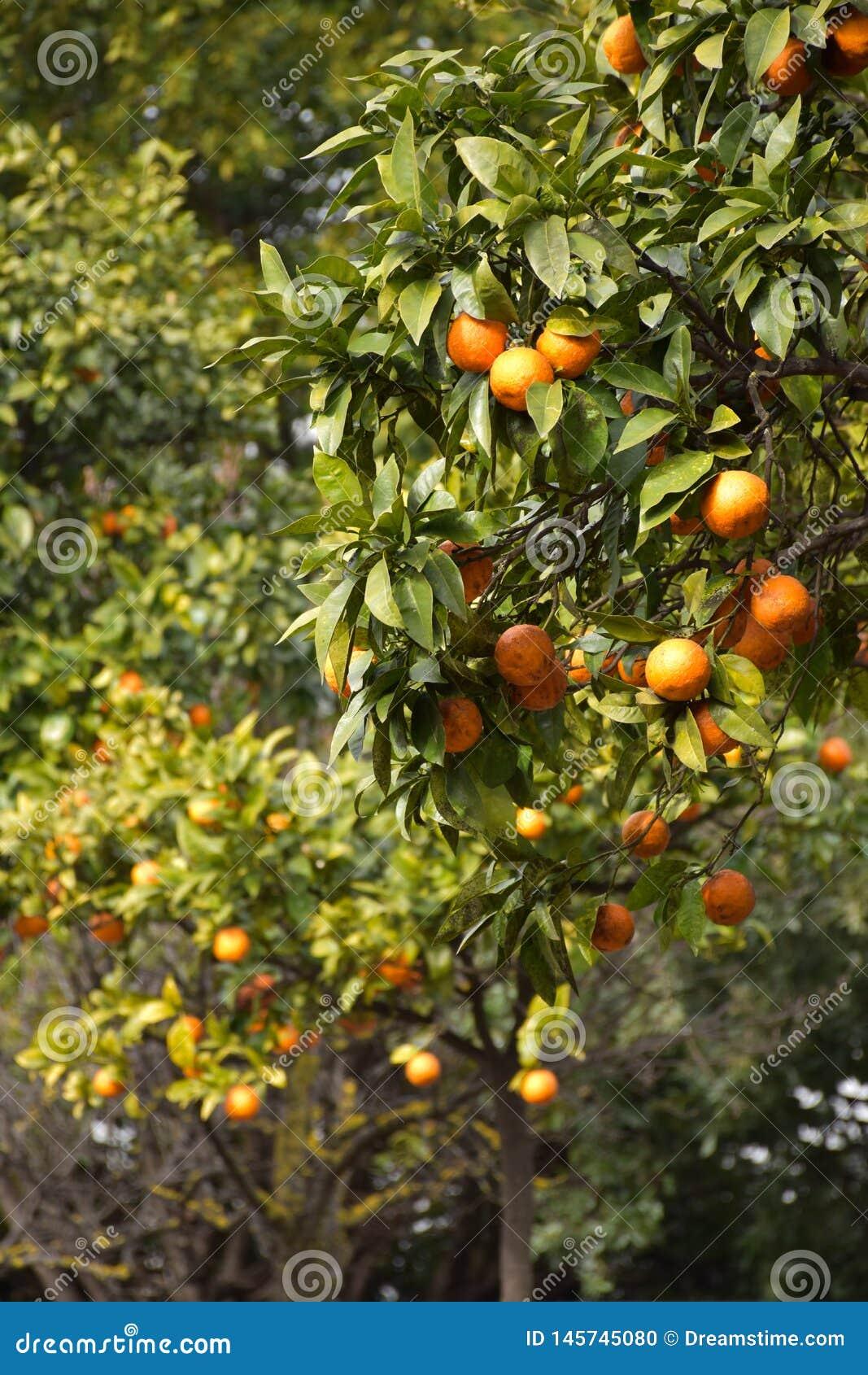 Апельсиновые деревья на весне в Италии