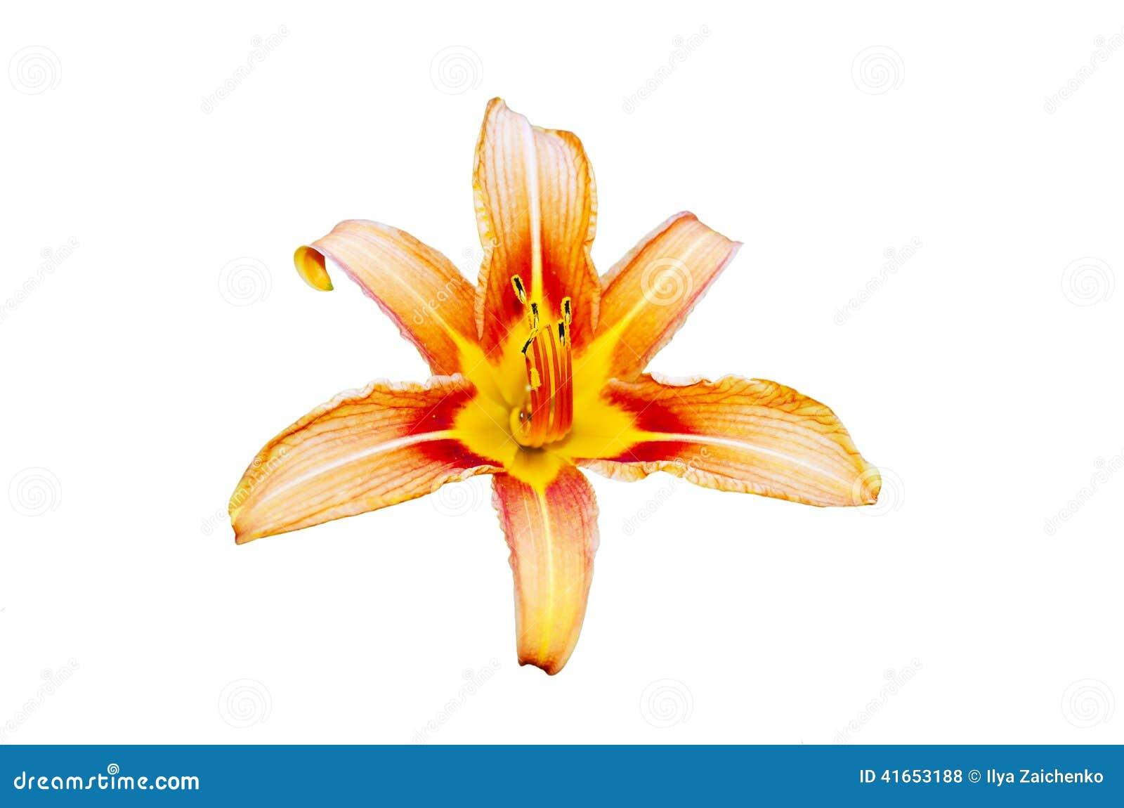 Апельсина изолированный цветок lilly