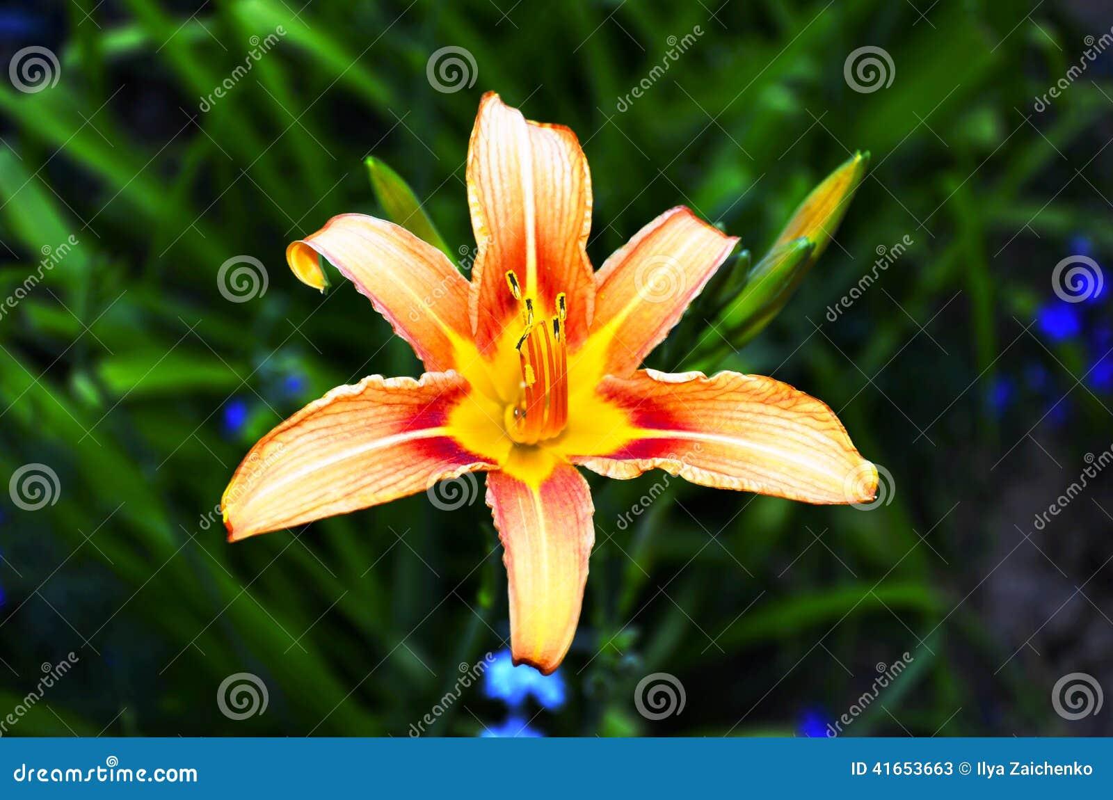 Апельсина цветок lilly