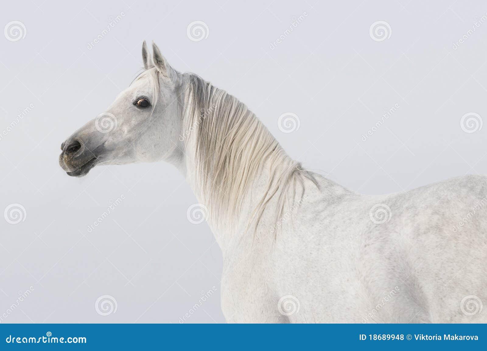 аравийская белизна портрета лошади
