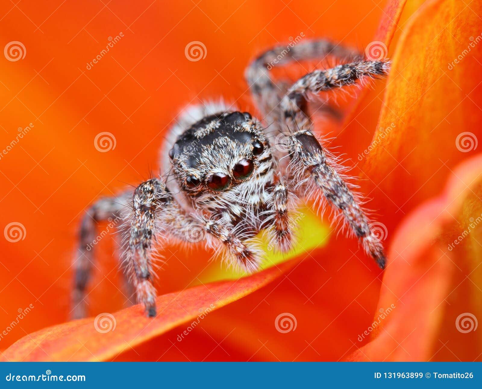 Аравийский скача конец-вверх паука с оранжевой предпосылкой цветка