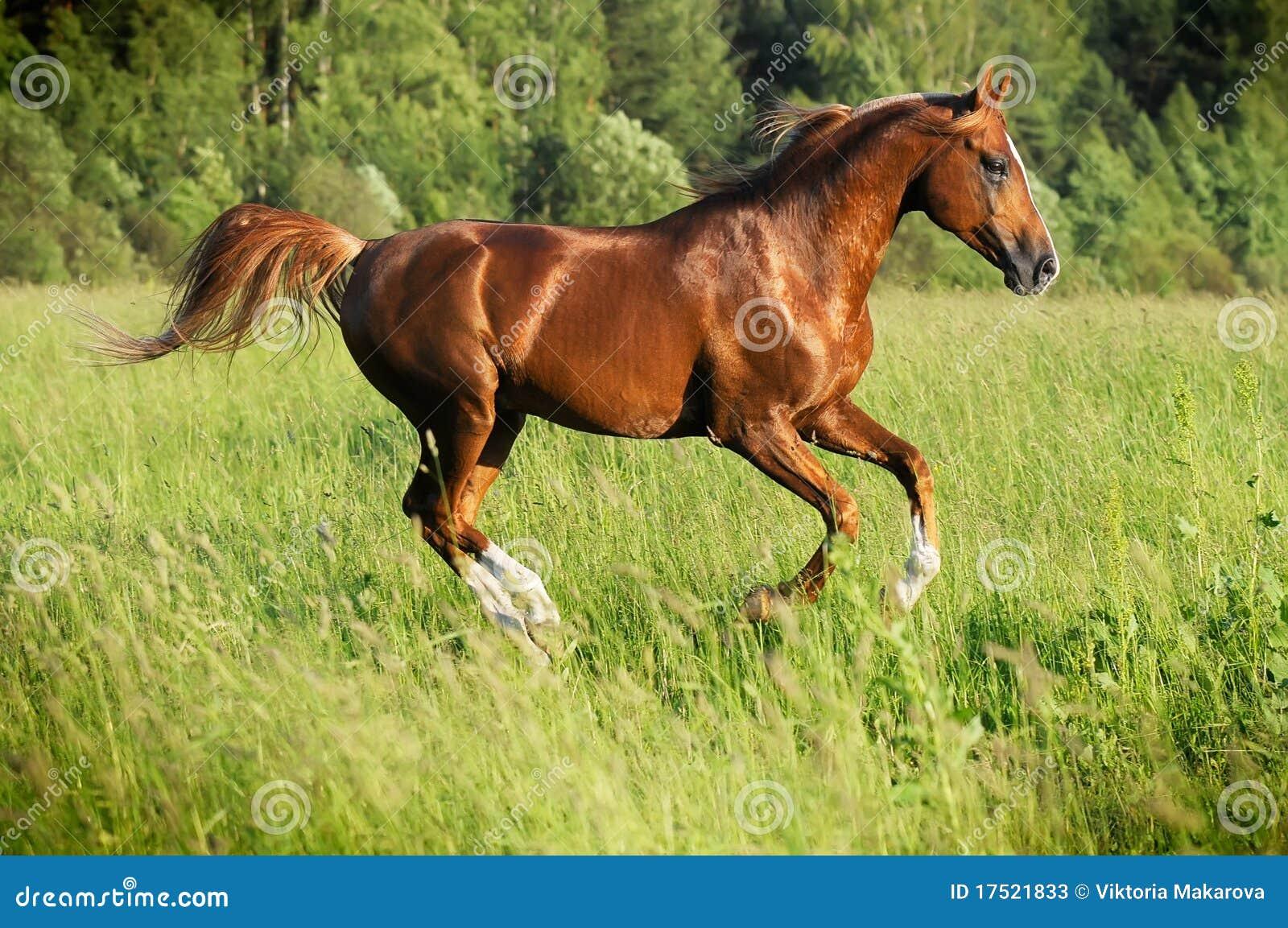 аравийский gallop каштана бежит жеребец