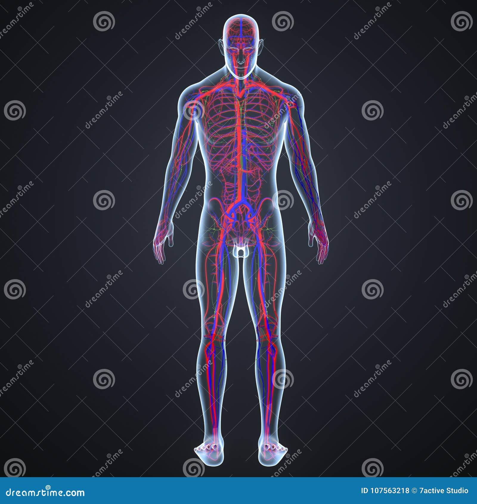 Артерии, вены и лимфоузлы с взглядом зада человеческого тела