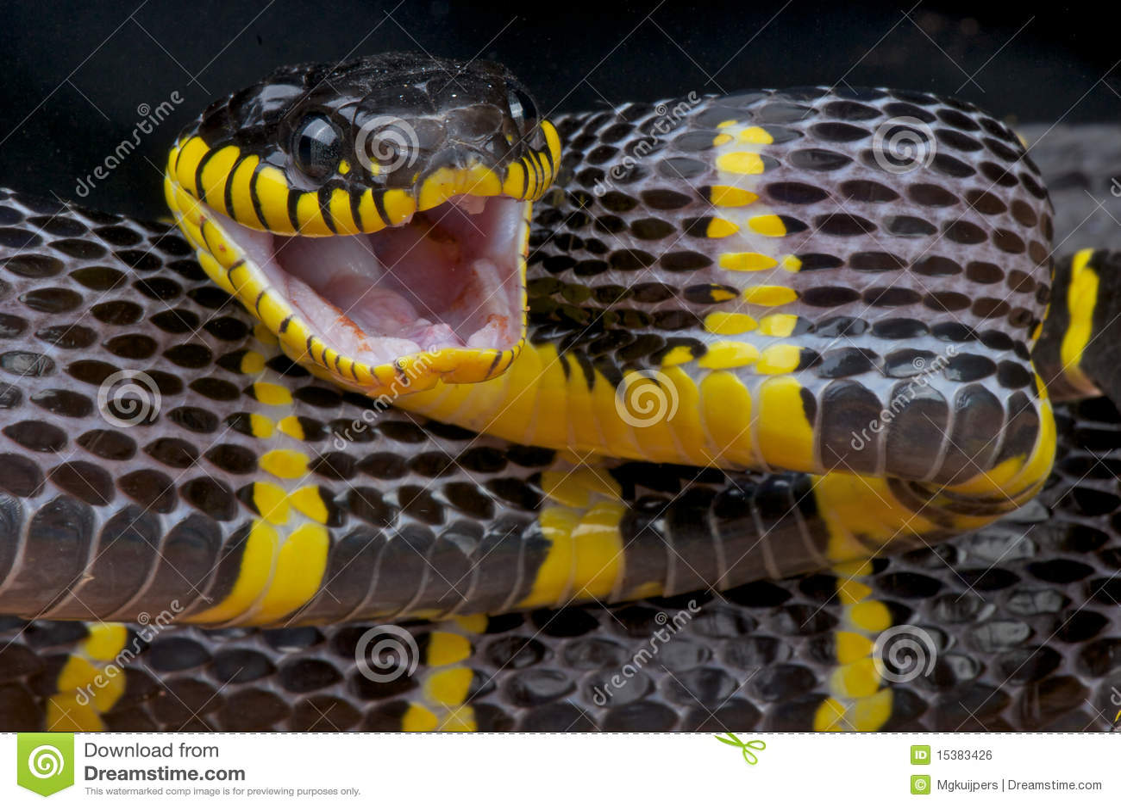 атакуя змейка мангровы