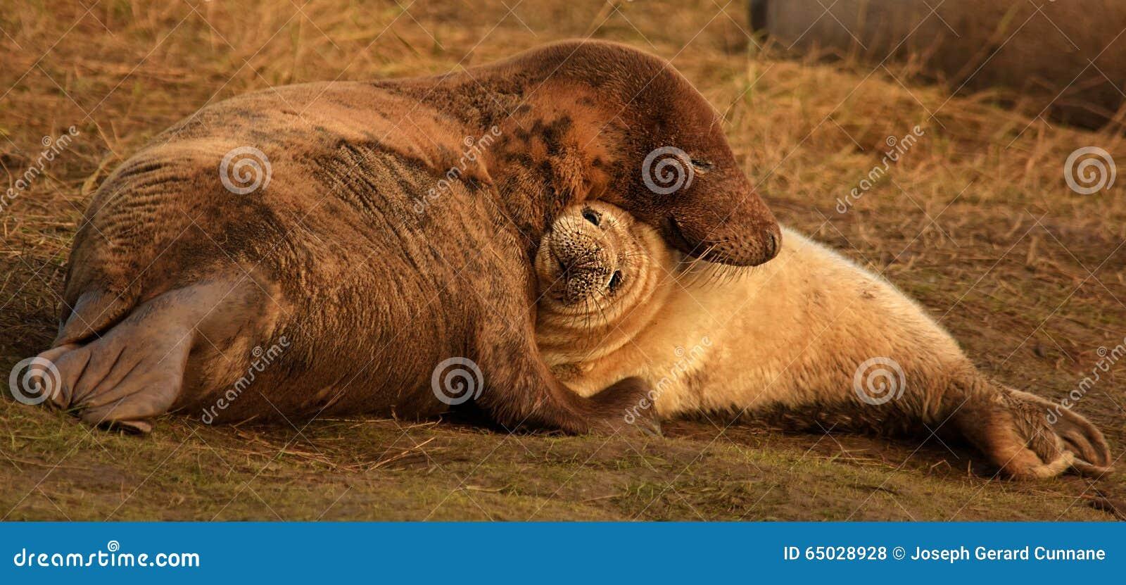 Атлантическая серые мать и щенок уплотнения прижимаясь