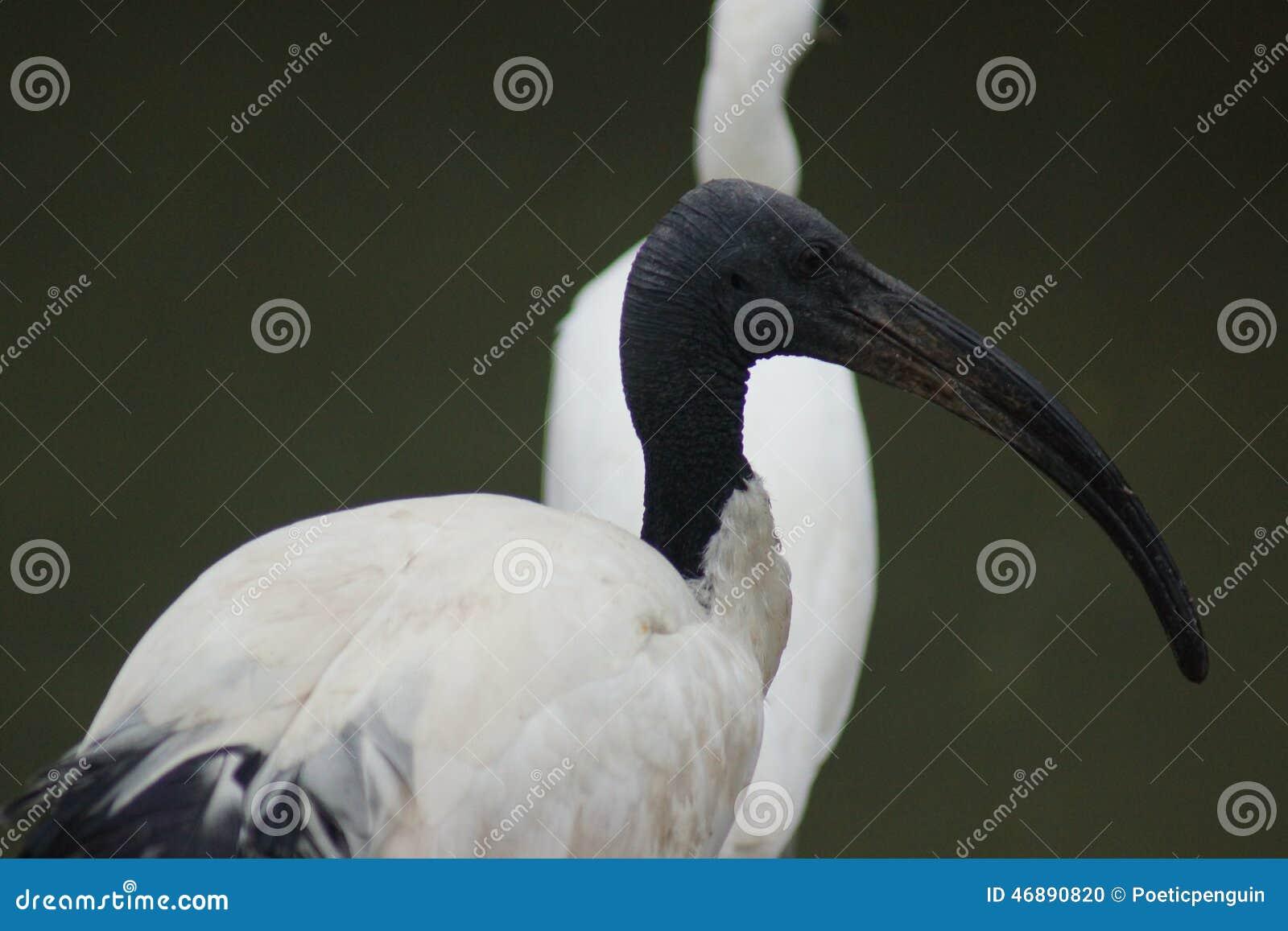 Африканец священнейший Ibis - Threskiornis Aethiopicus