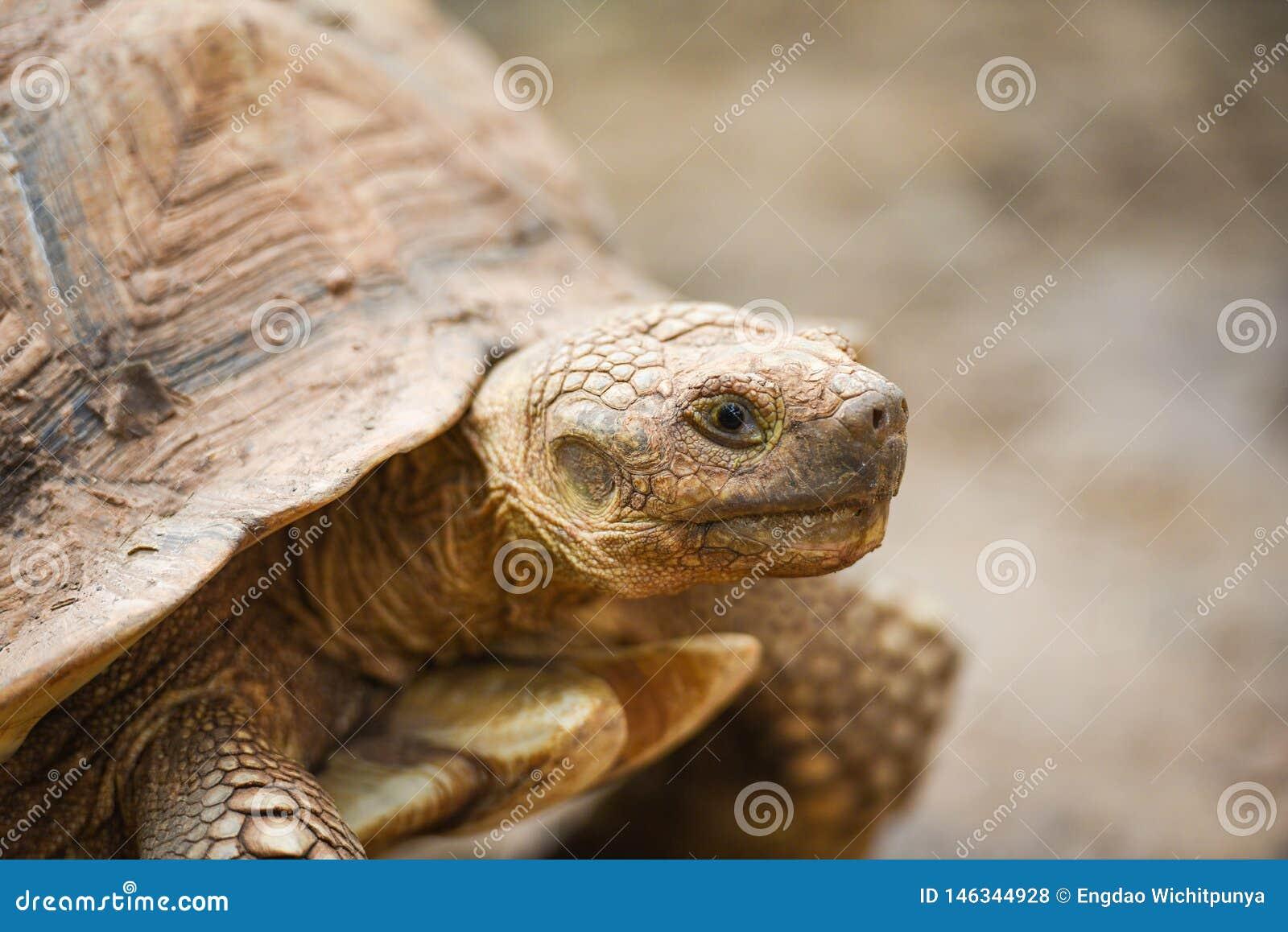 Африканская пришпоренная черепаха/конец вверх по главной черепахе