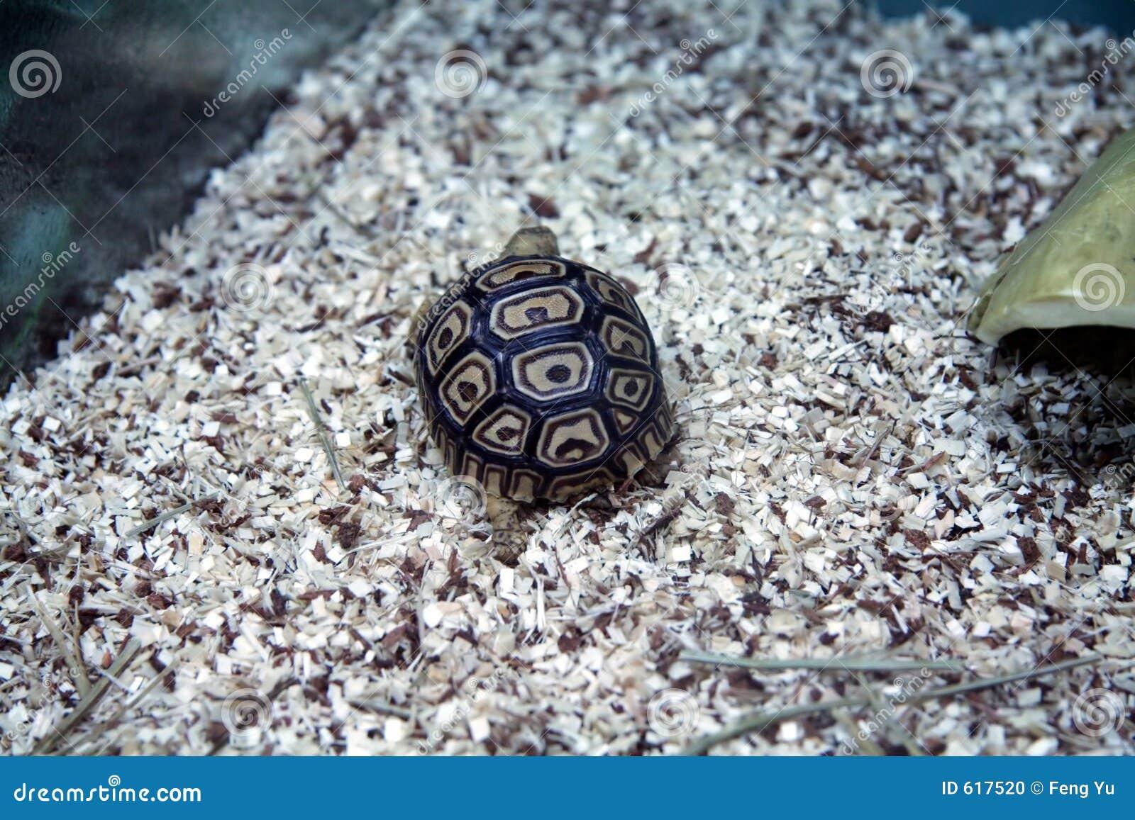 африканская черепаха леопарда
