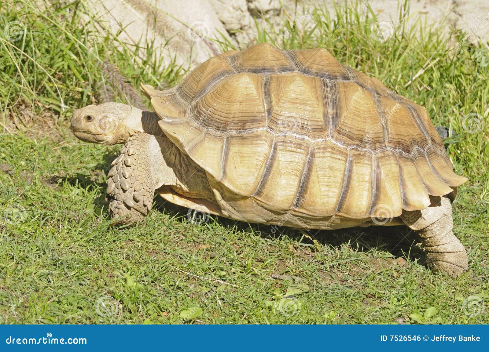 африканская черепаха фото