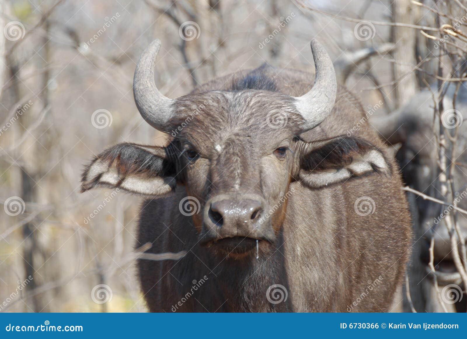 африканские детеныши буйвола