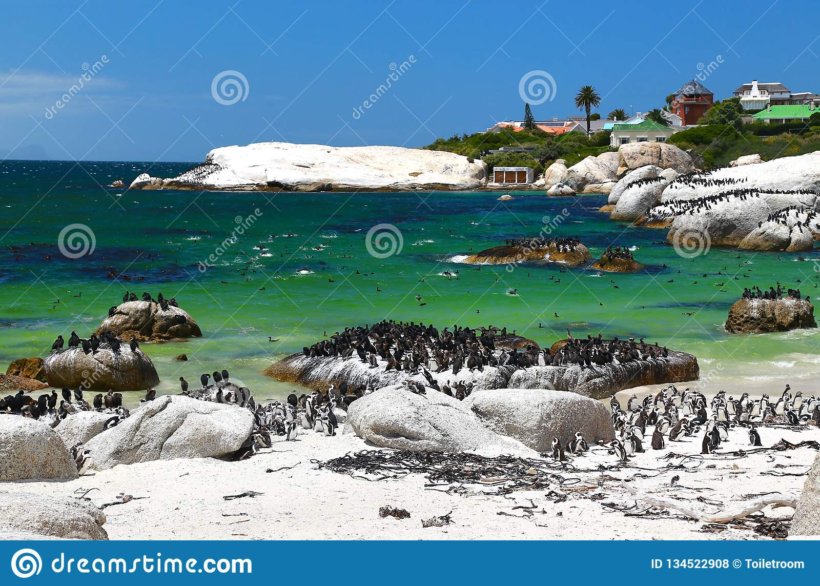 Африканские пингвины на пляже валунов расположенном в Simon& x27; городок Кейптаун s, Южная Африка