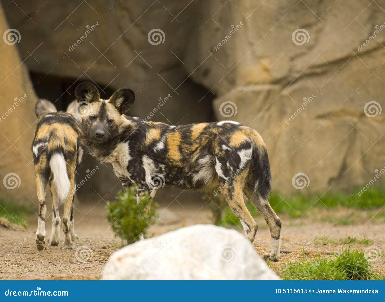 африканские собаки одичалые