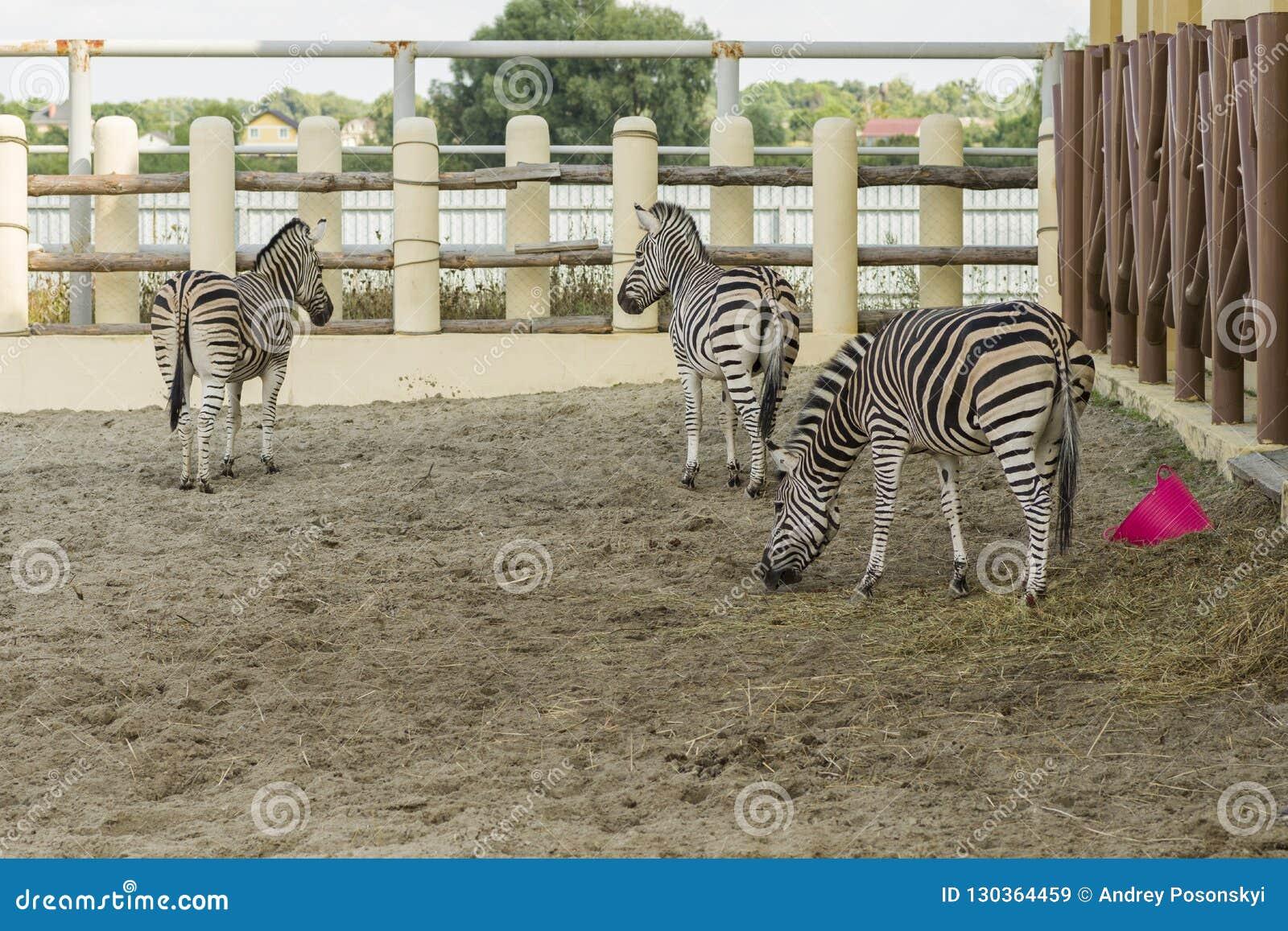 Африканские striped зебры в зоопарке