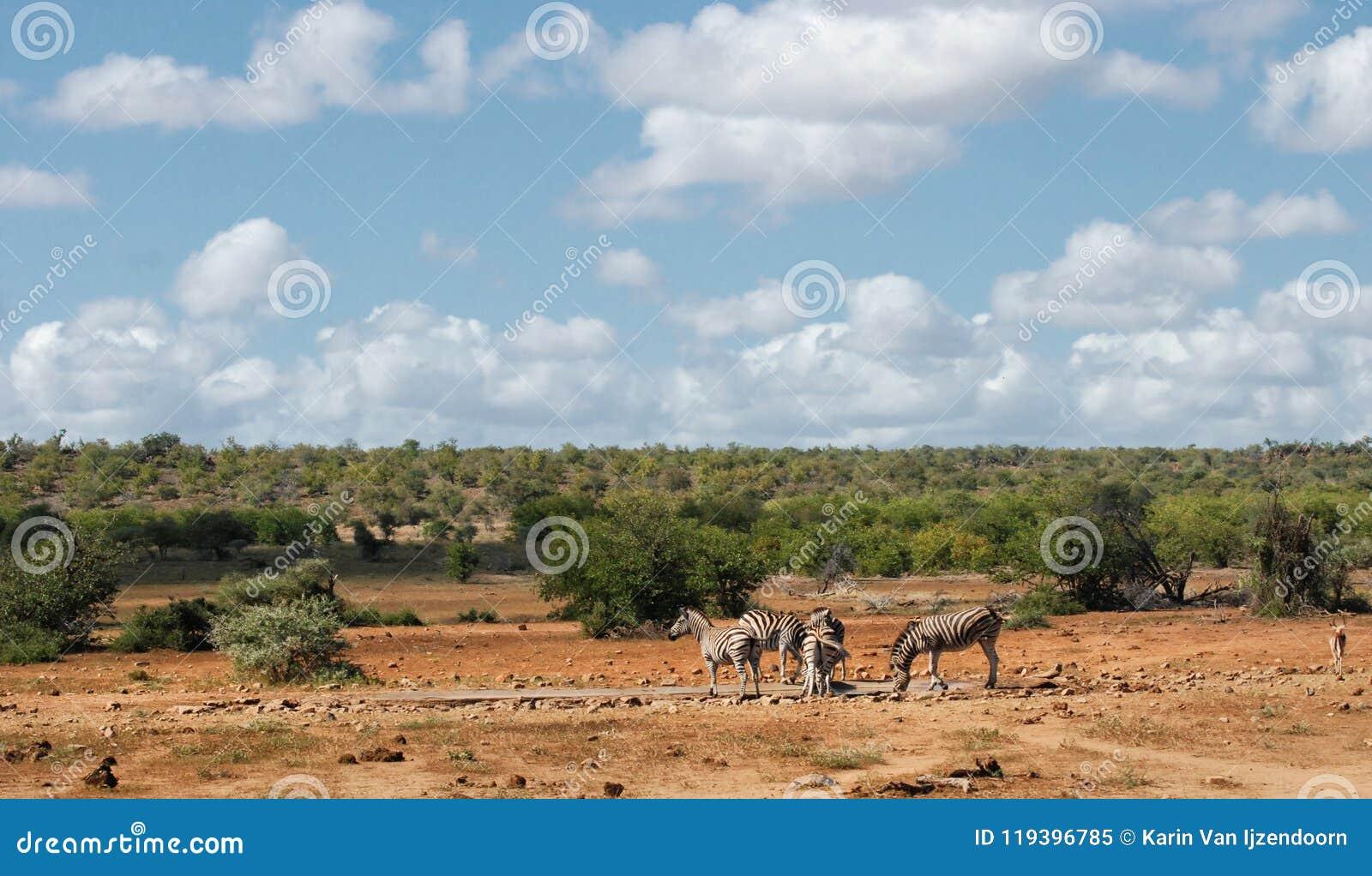 Африканский ландшафт саванны с простыми зебрами на waterhole