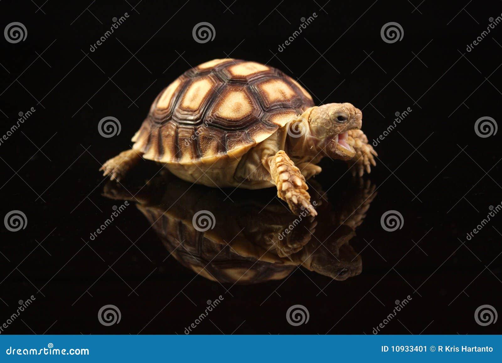 африканский младенец пришпорил черепах