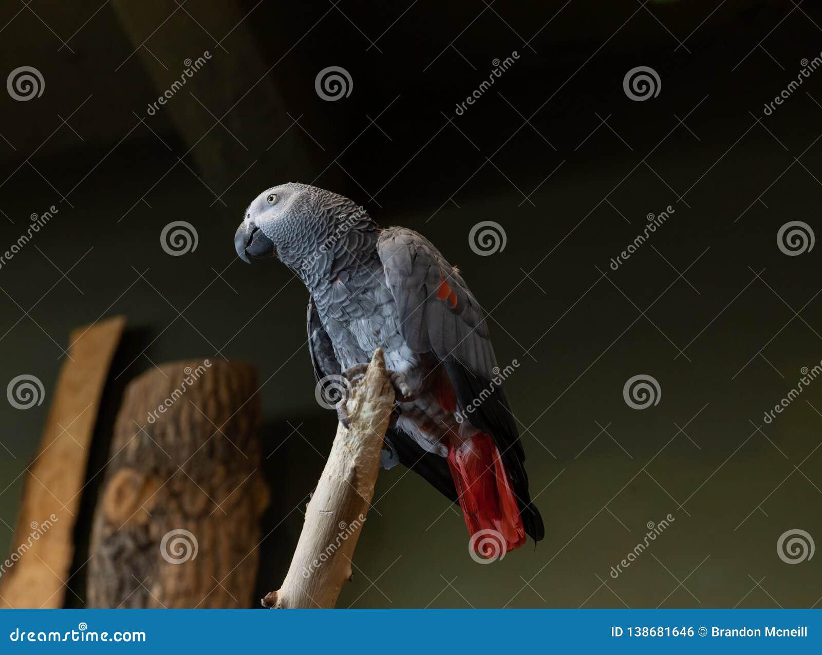 Африканский серый попугай снизу