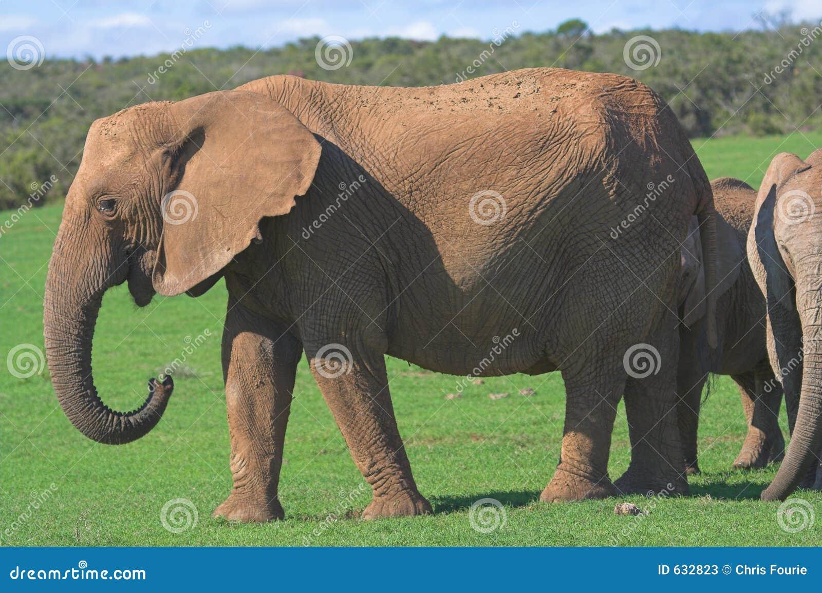 Download африканский слон стоковое изображение. изображение насчитывающей вышесказанного - 632823
