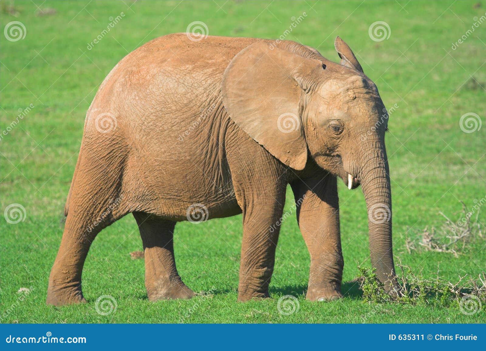 Download африканский слон стоковое изображение. изображение насчитывающей слон - 635311