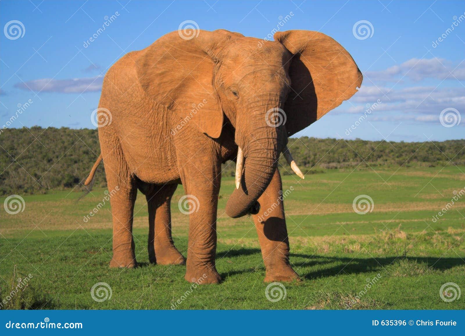 Download африканский слон стоковое фото. изображение насчитывающей уши - 635396
